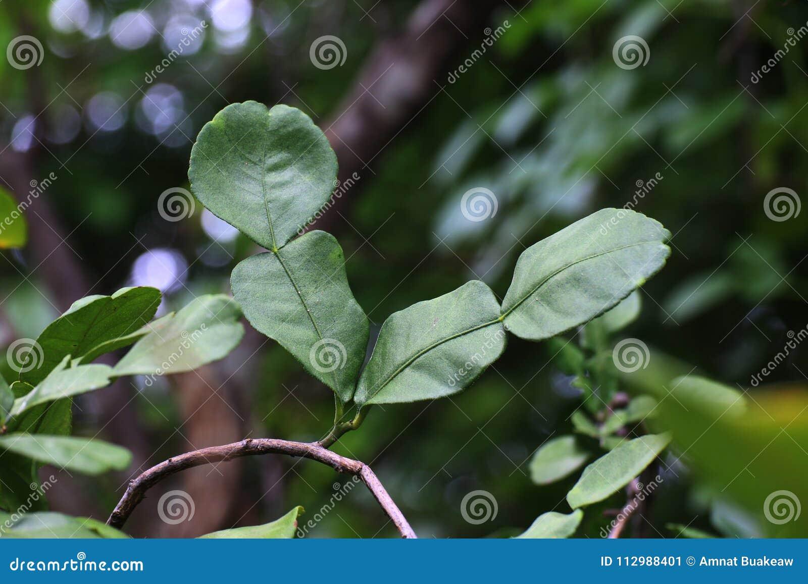 Bergamot leaf, kaffir Lime Leaf