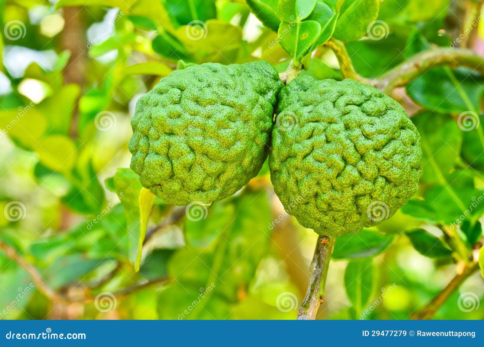 Bergamot On Tree Royalty Free Stock Images - Image: 29477279