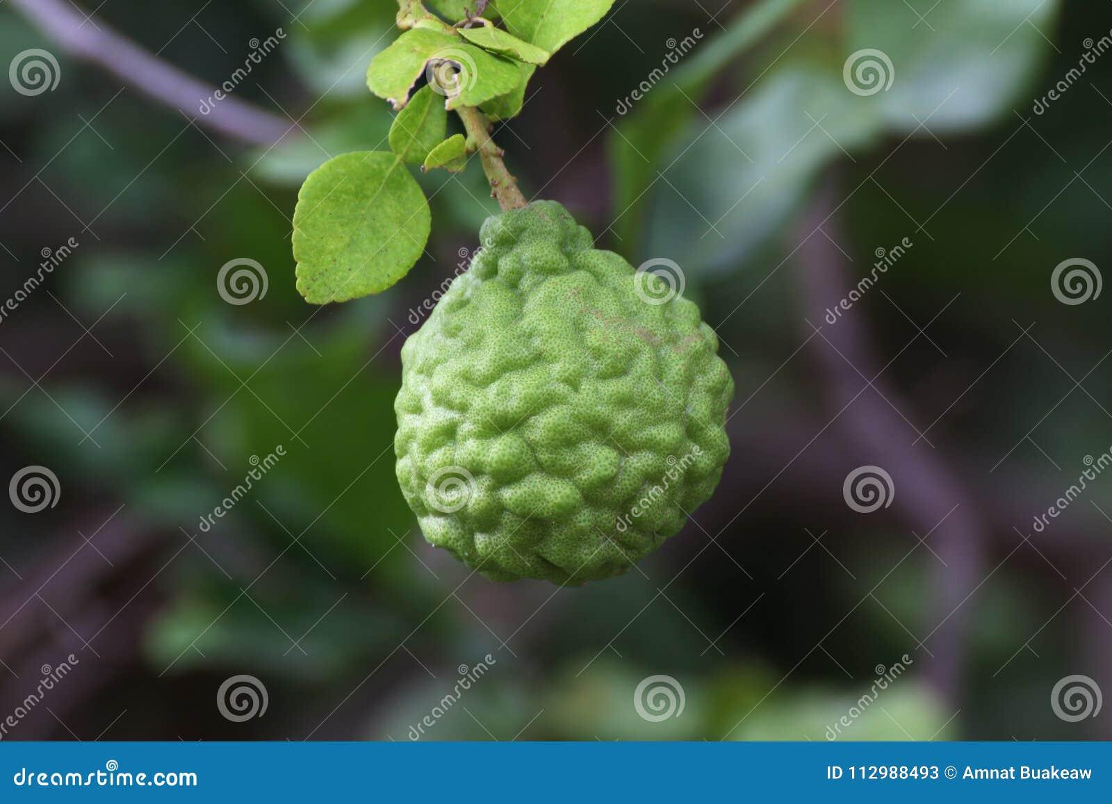 Bergamot on tree farm closeup, kaffir Lime Leaf garden