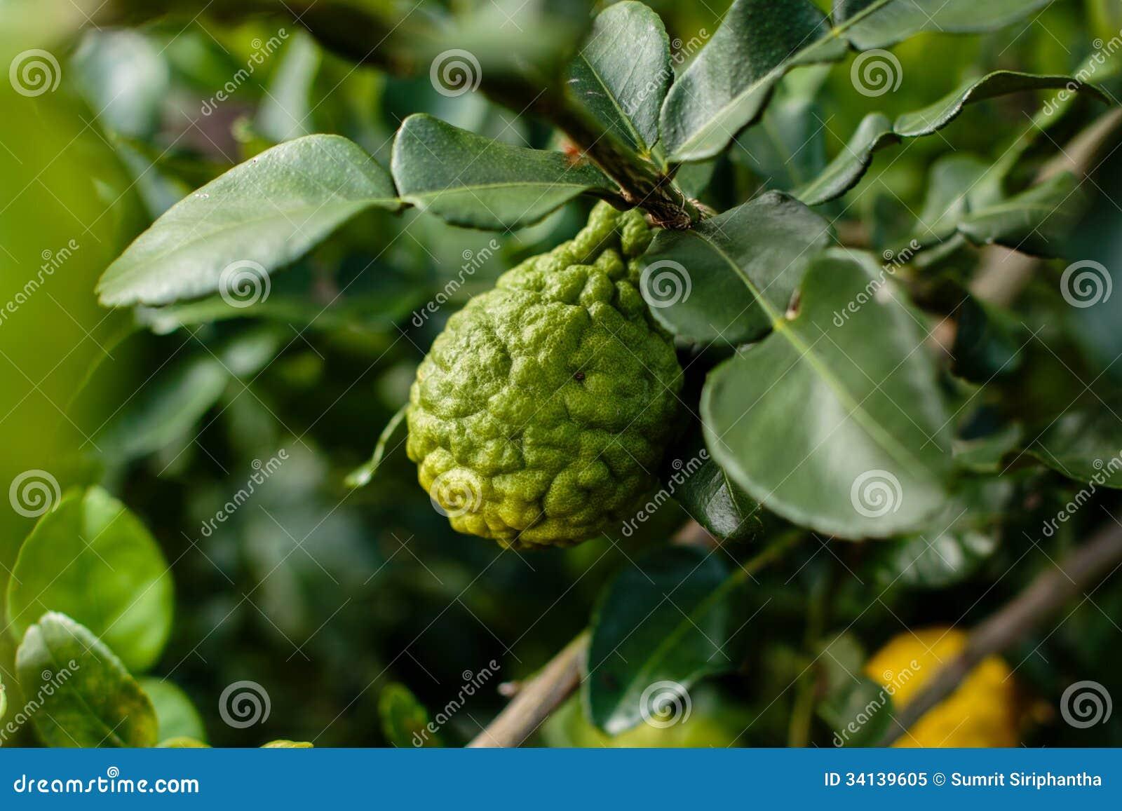 Bergamot on Tree (Kaffir Lime)