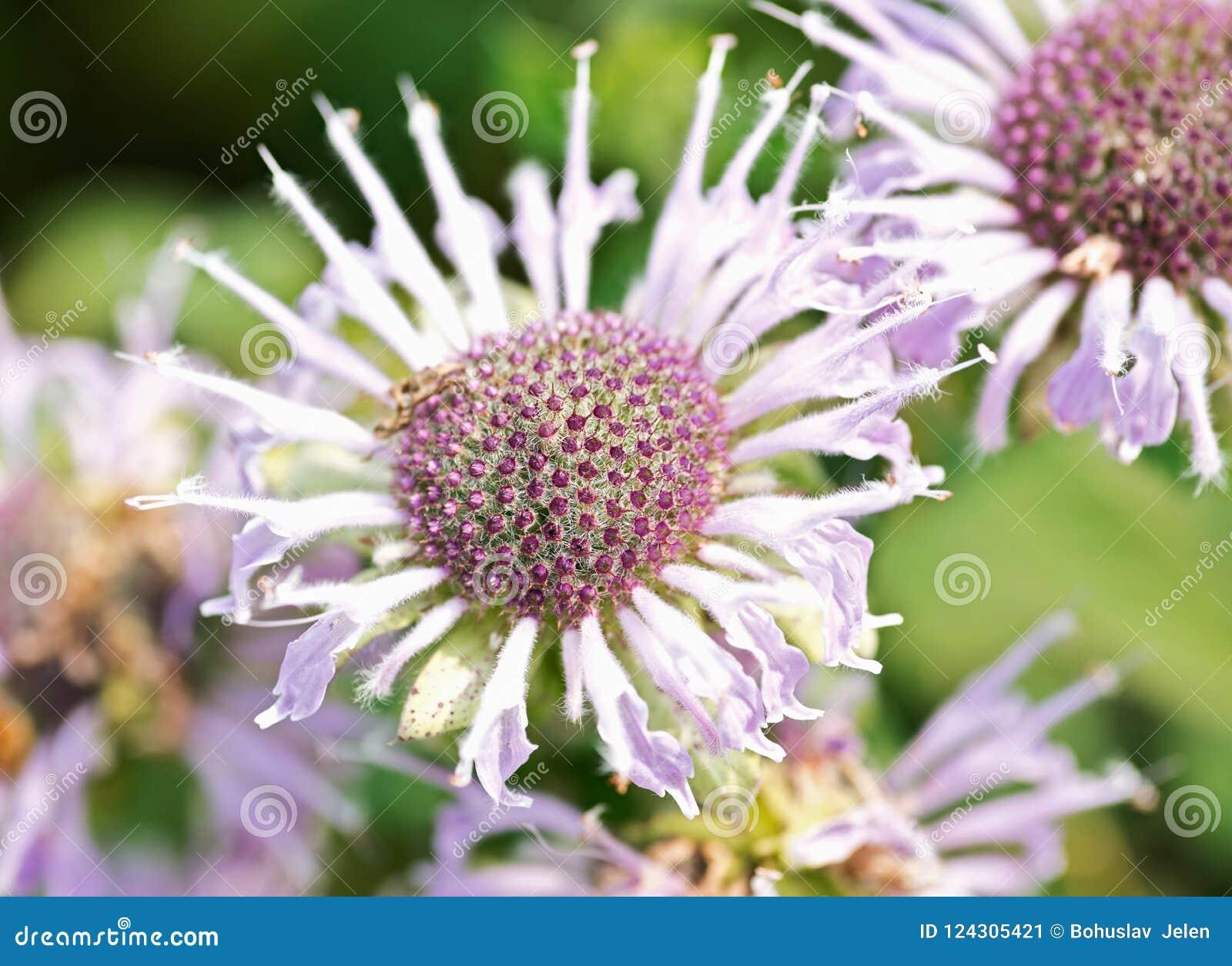 Bergamota salvaje floreciente Abeja que atrae las flores del campo Monarda Fistulosa Bálsamo de abeja, un wildflower en la famili