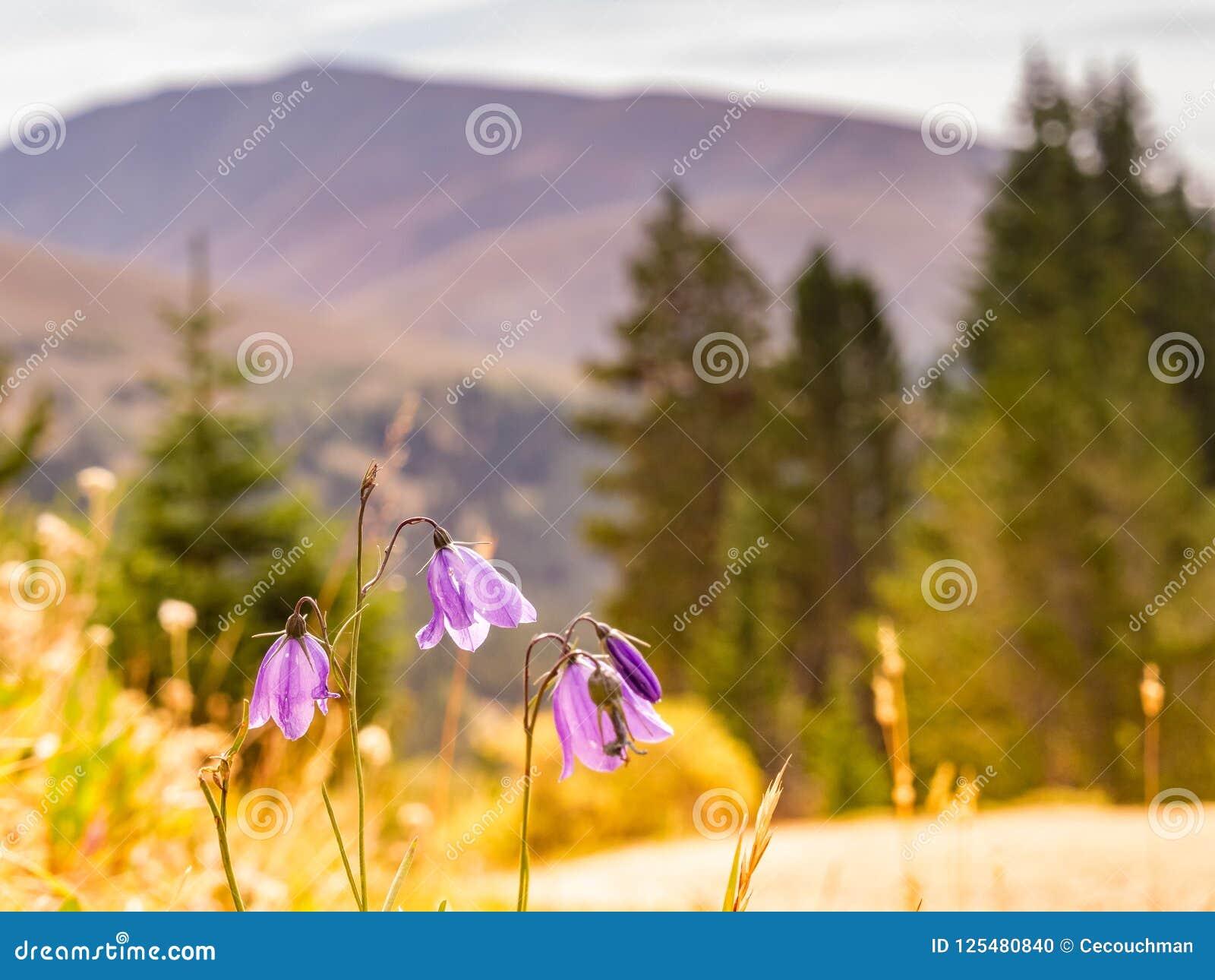 Bergblåklockor som blommar längs Hoosierpasserandeslingan
