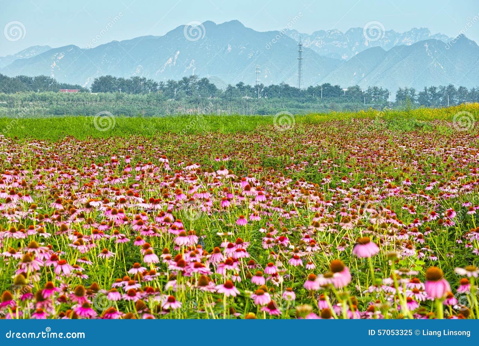 Bergen en het overzees van chrysant