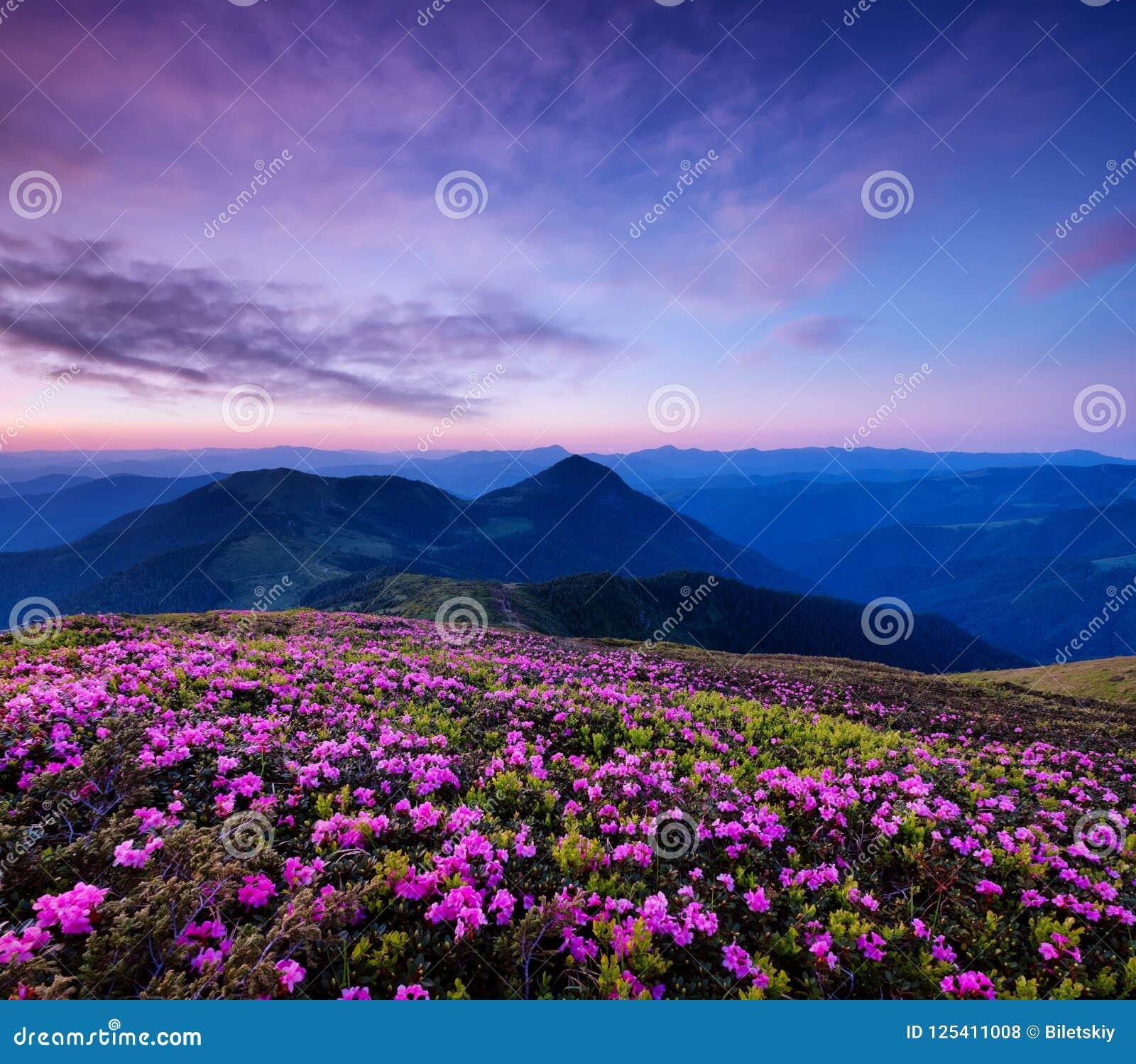 Bergen tijdens bloemenbloesem en zonsopgang Bloemen op de bergheuvels