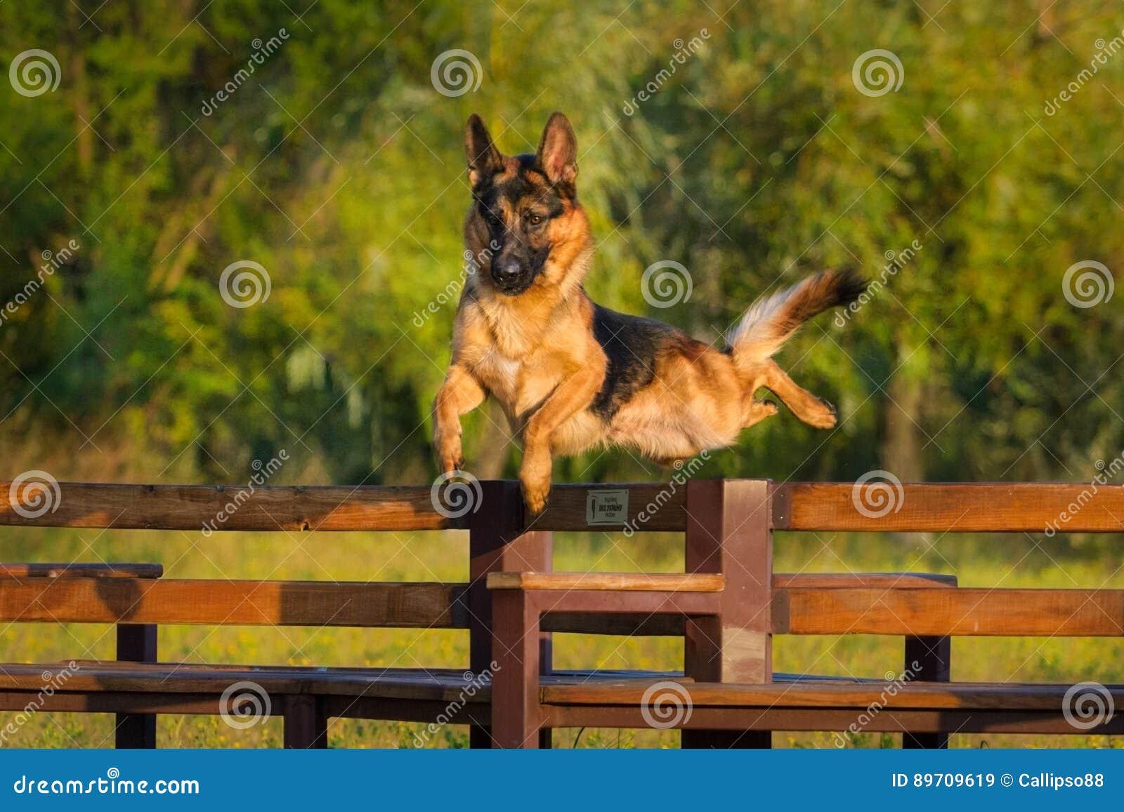 Berger allemand Dog