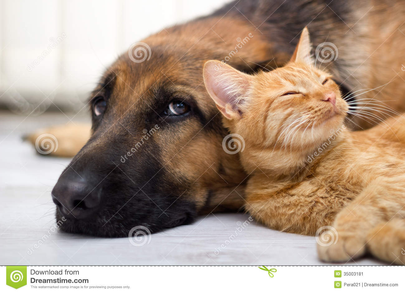 Berger allemand Dog et chat ensemble