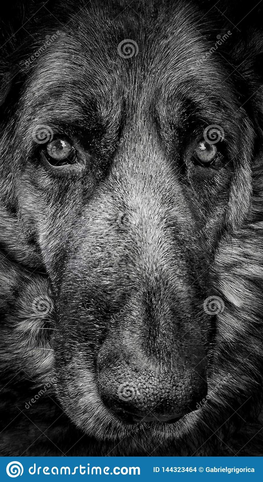 Berger allemand Dog Portrait