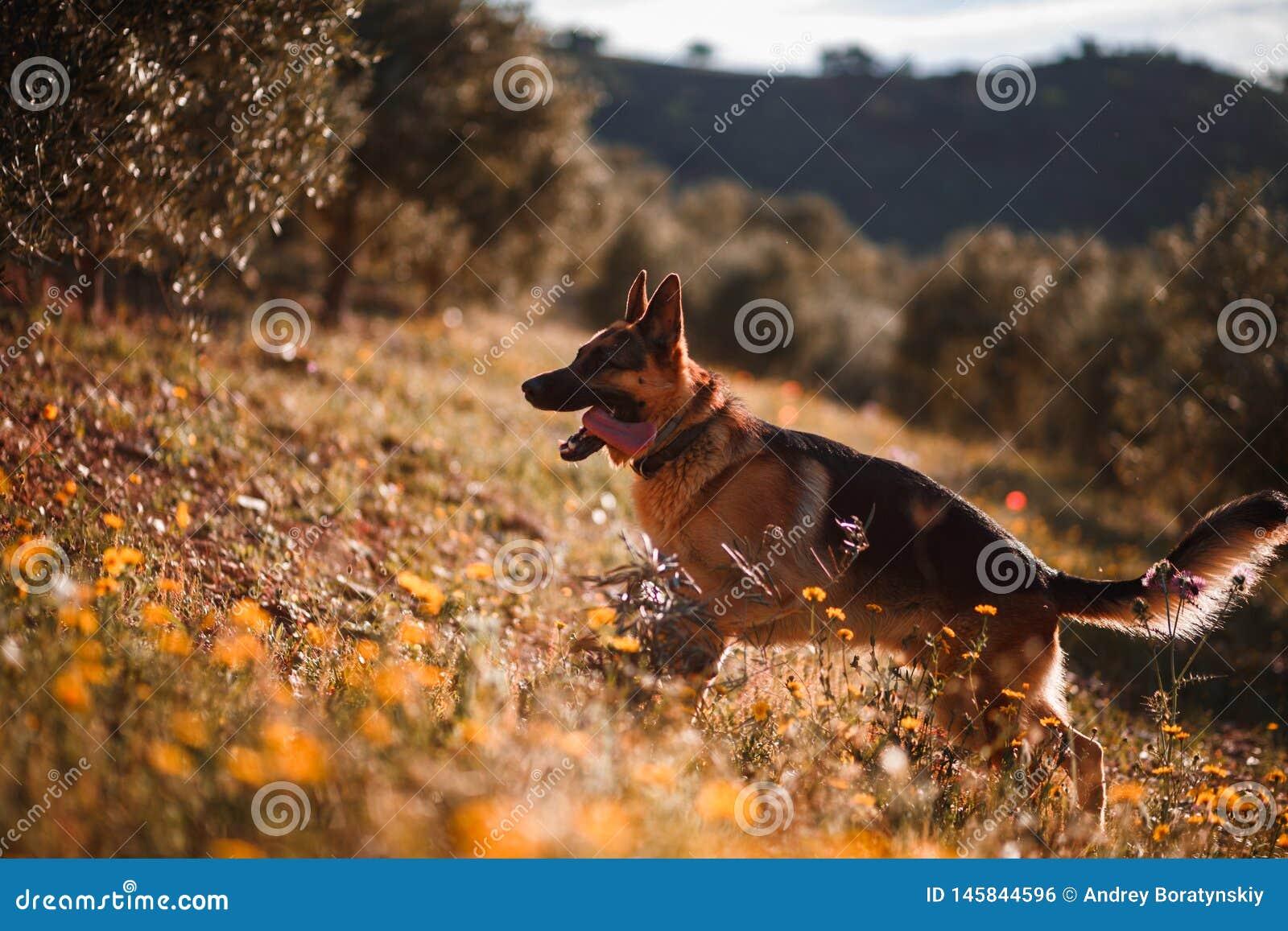 Berger allemand jouant sur le champ des fleurs jaunes et des oliviers