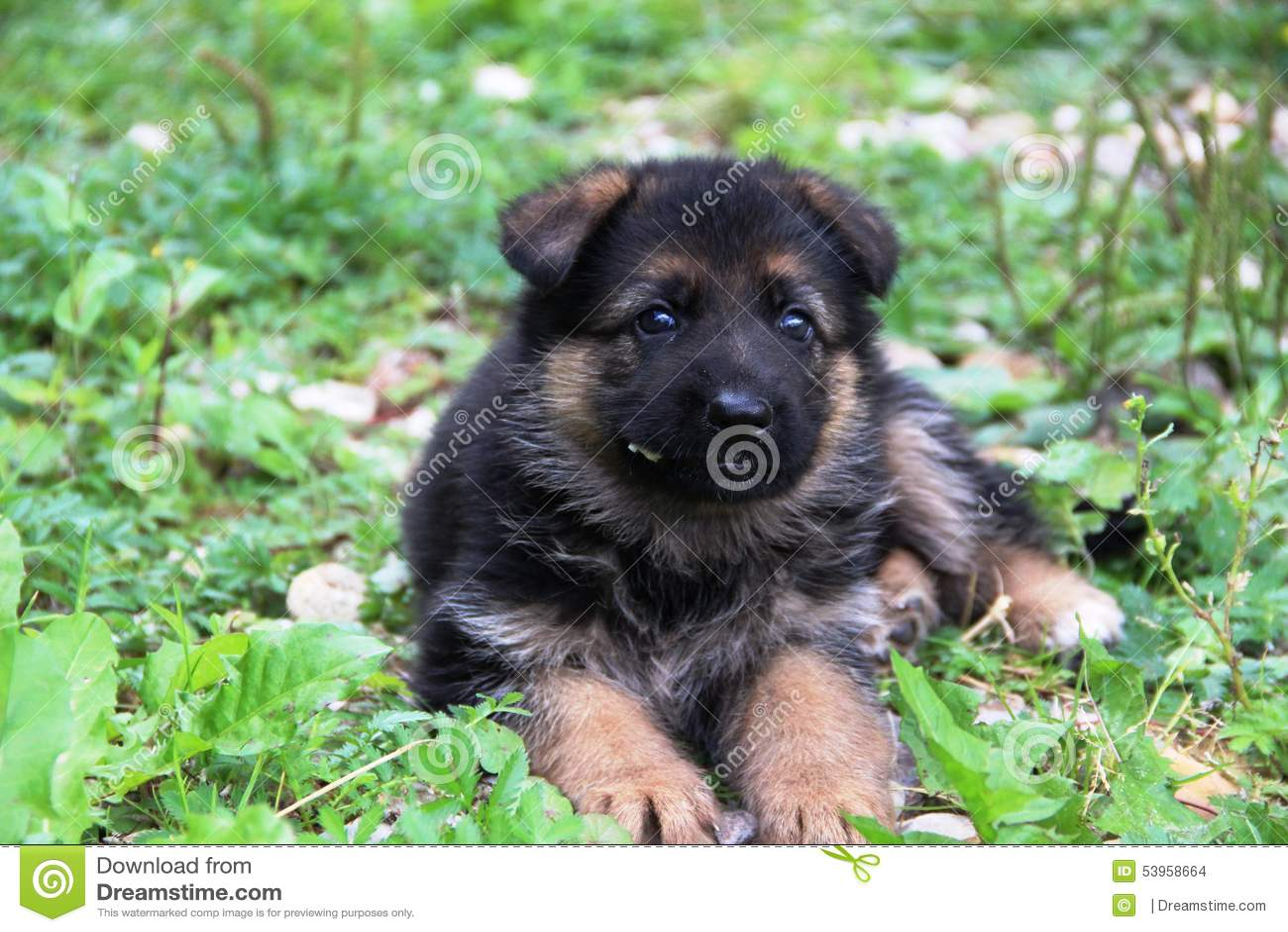Berger allemand Puppy