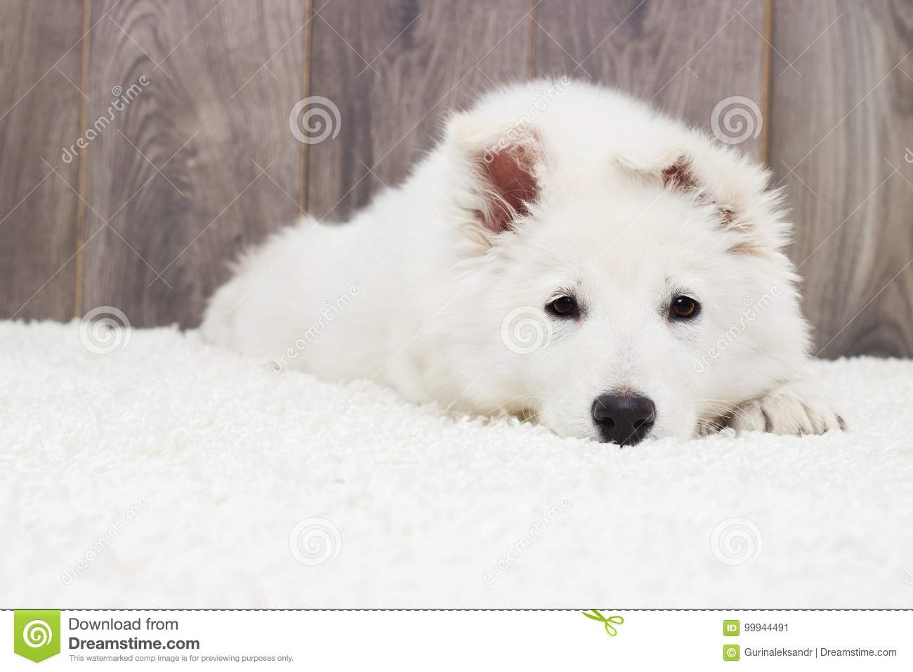 Berger Blanc Suisse Puppy Stock Image Image Of Puppy 99944491