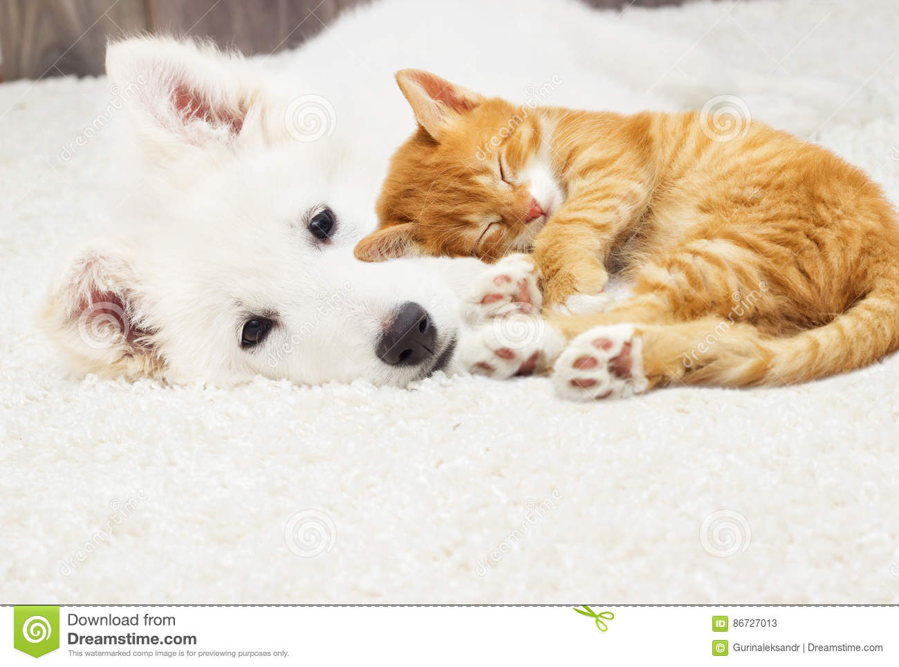 Berger Blanc Suisse Puppy And Kitten Stock Image Image Of Space