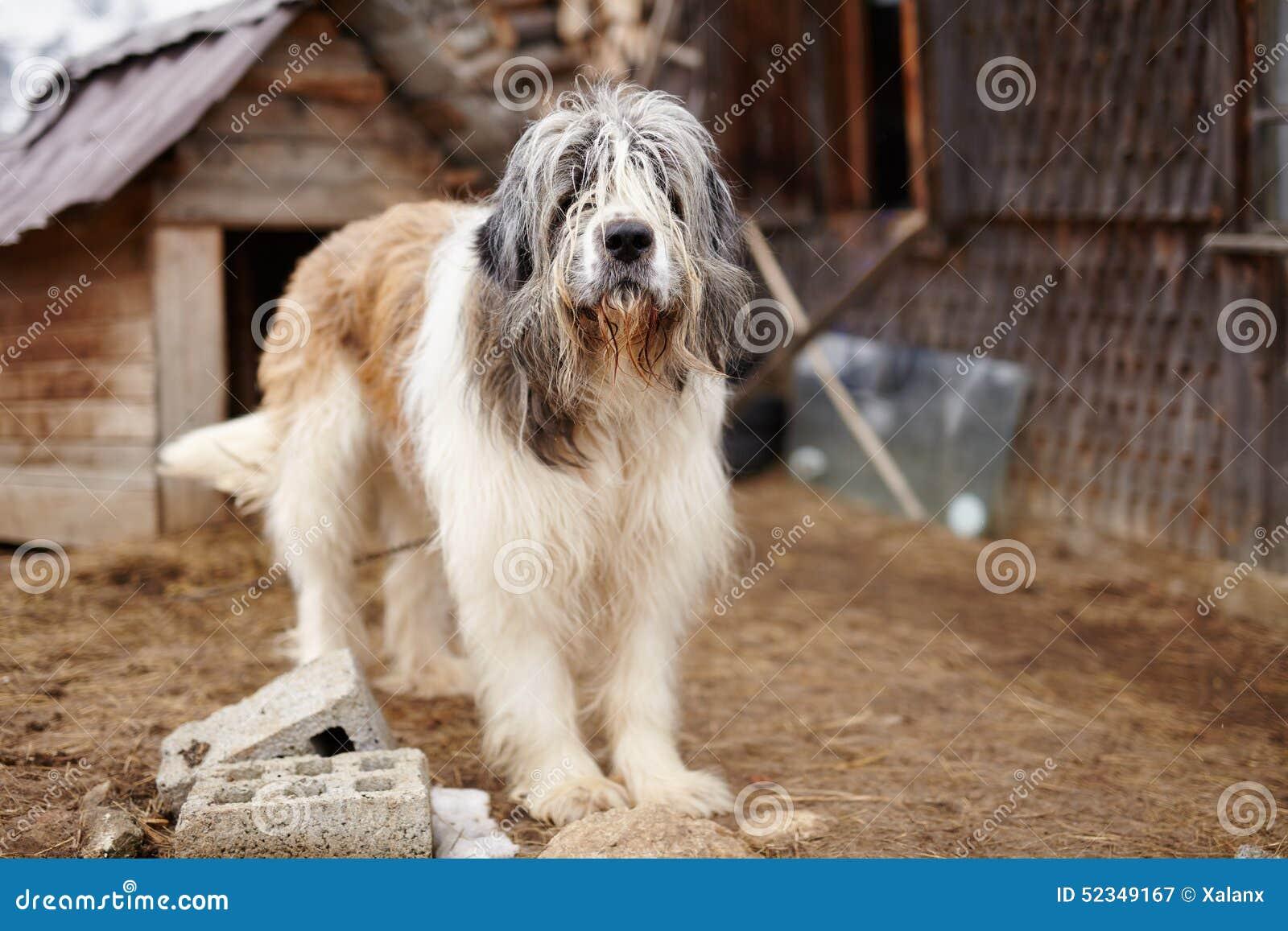 Berger carpathien Dog se tenant dans la cour