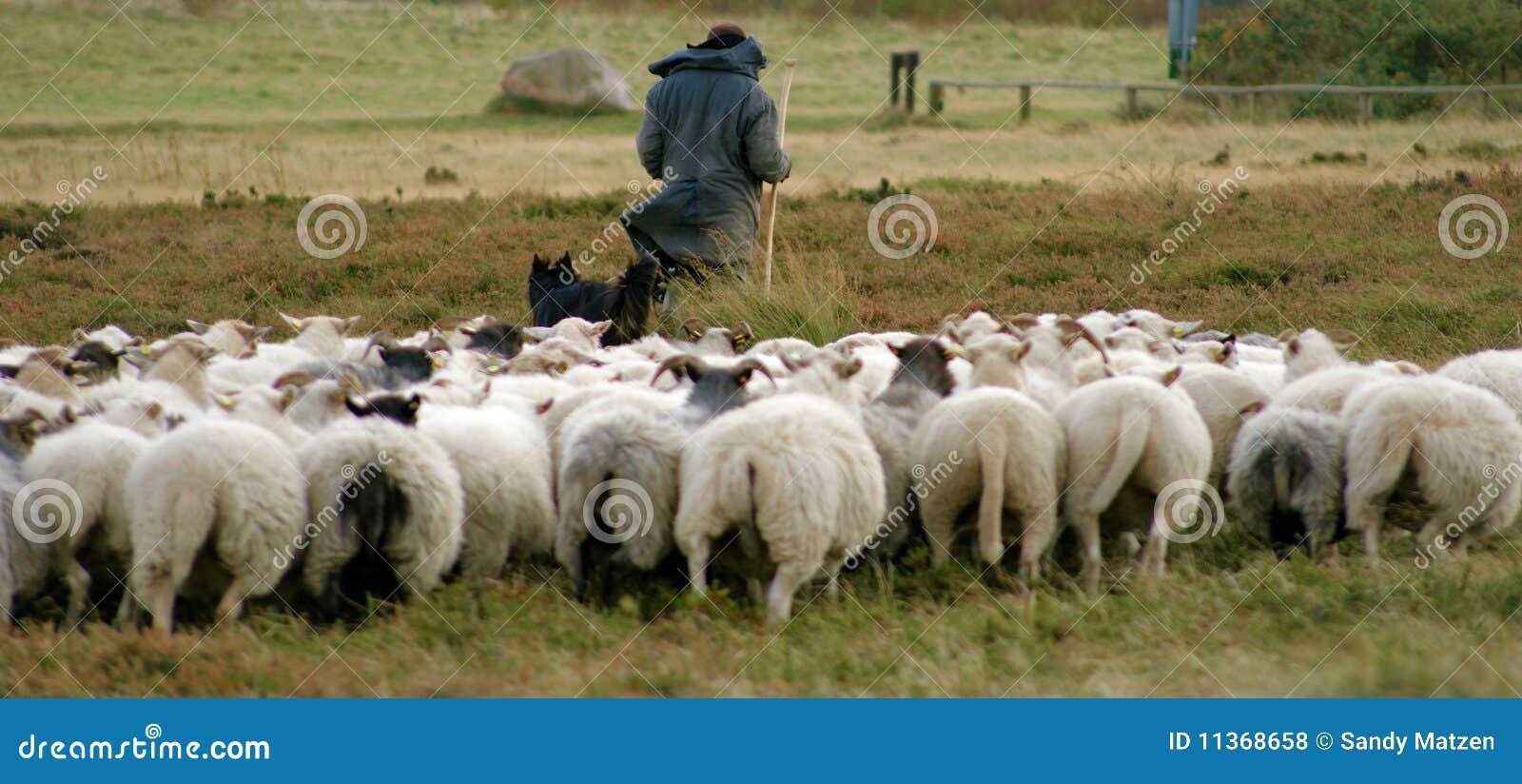 Berger et ses moutons photo stock image du berger - Photos de moutons gratuites ...