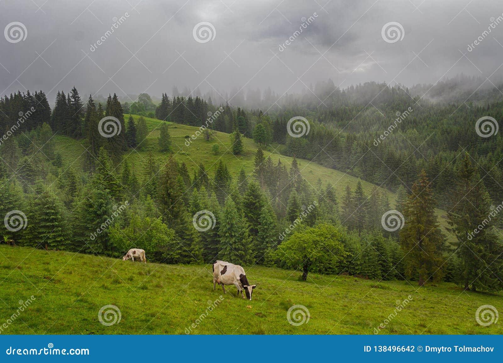 Berggrässlätten med att beta kor i sommar betar Jordbruks- sammansättning, Carpathians
