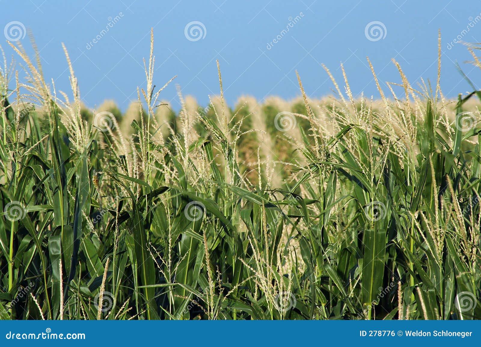 Bergig cornfield