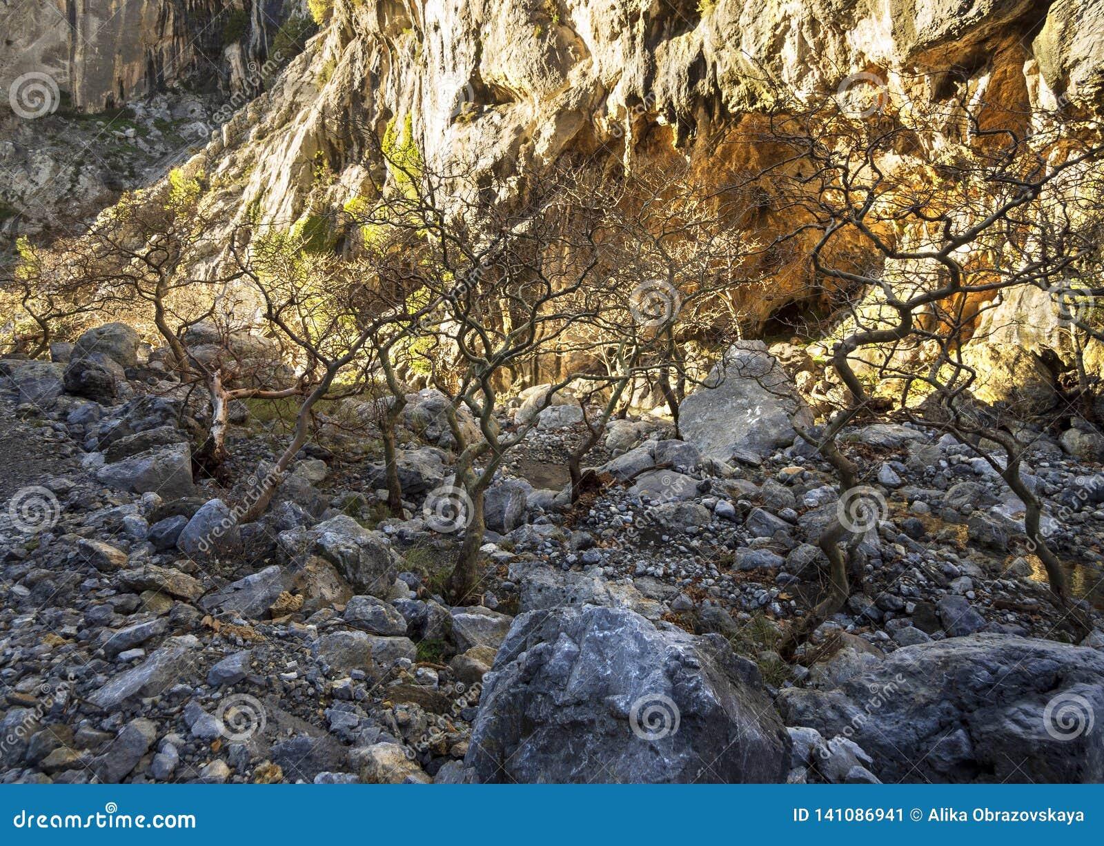 Bergig snabb flod med klart vatten och platan i skogen i bergen Dirfys på ön av Evia, Grekland