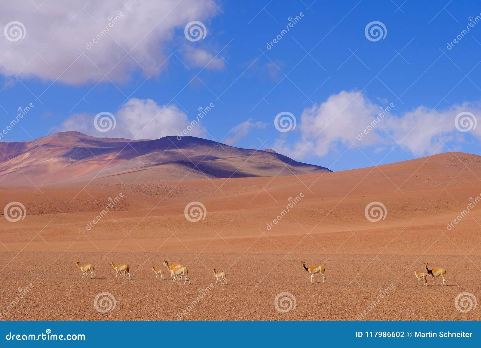 Berglandschap van de Andes met het weiden van vicuna of guanacos, dichtbij Paso Jama, Chili, Zuid-Amerika
