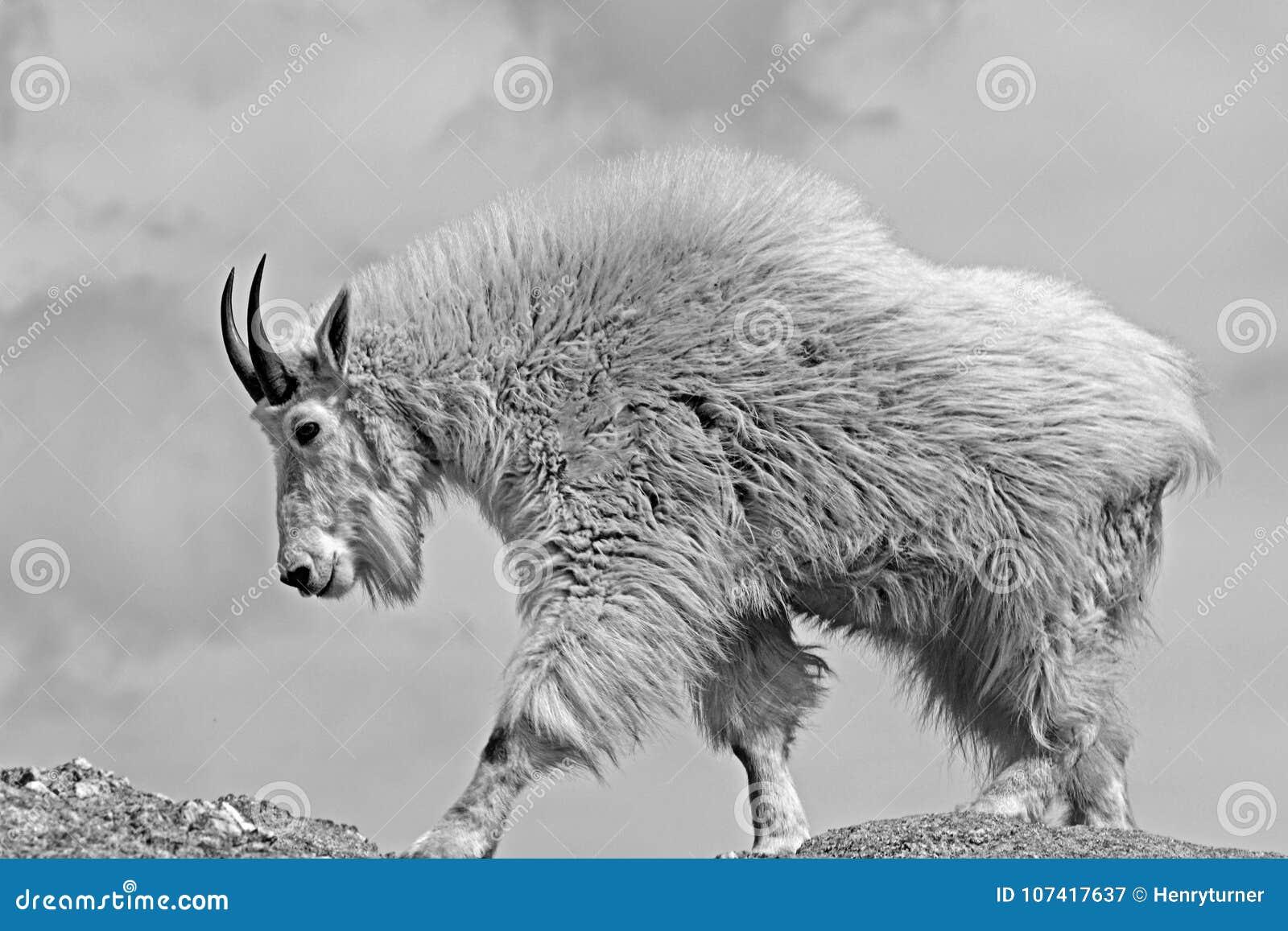 Bergsfår på det svarta älgmaximumHarney maximumet i Custer State Park i Blacket Hills South Dakota USA