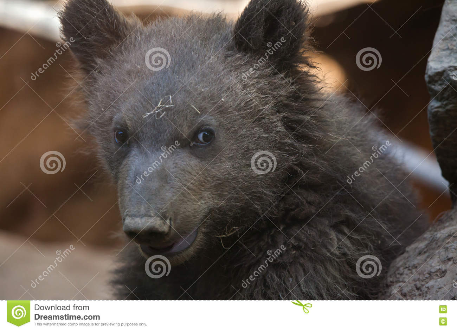 Beringianus arctos Ursus бурого медведя Камчатки