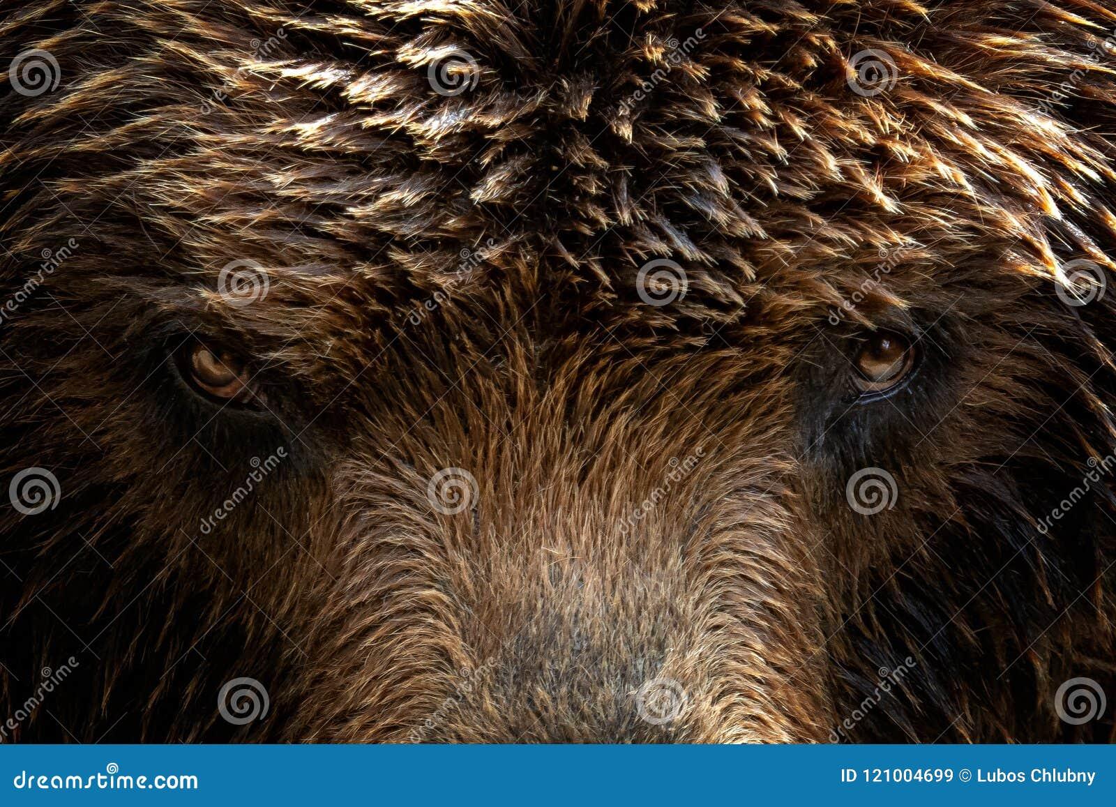 Beringianus d arctos d Ursus d ours brun du Kamtchatka