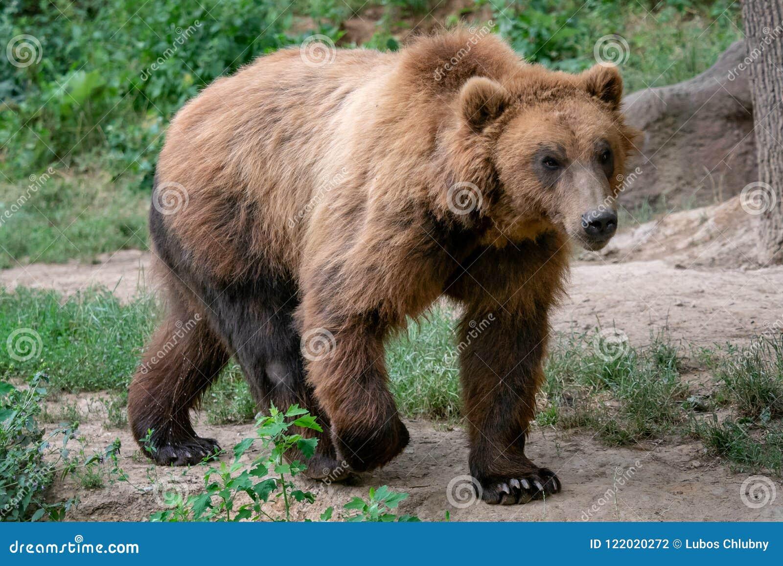 Beringianus dos arctos do Ursus do urso marrom de Kamchatka