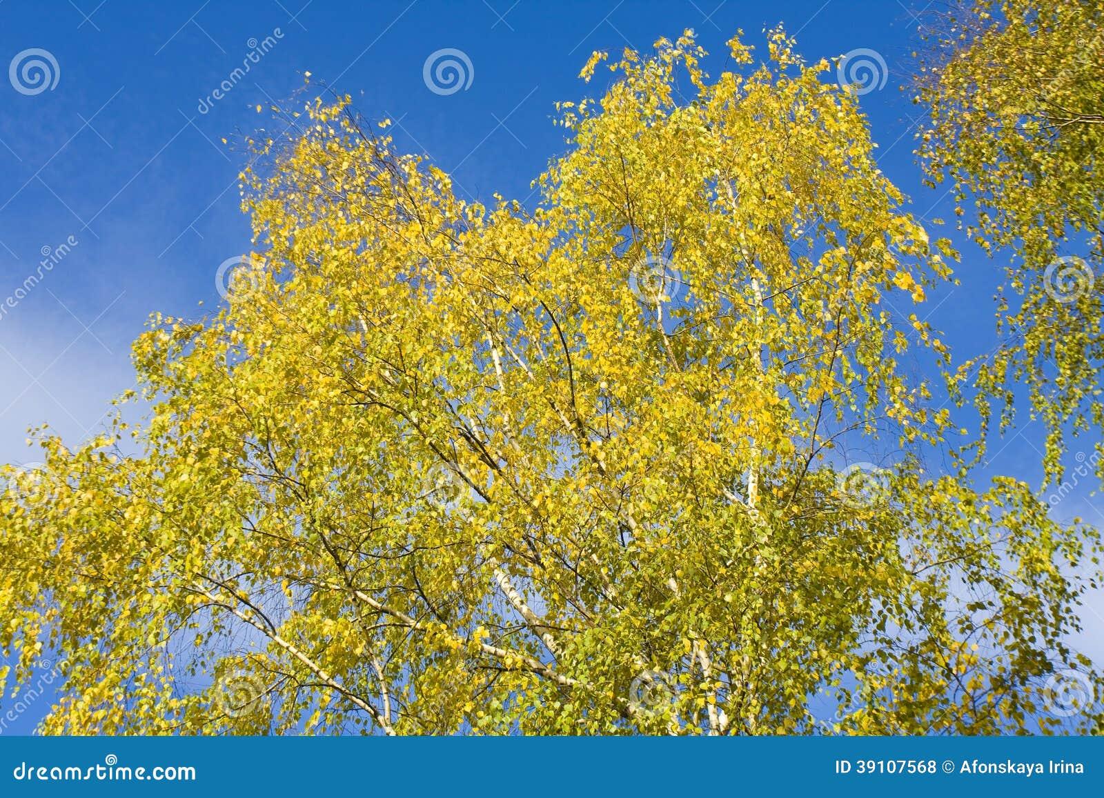 Berkbladeren op blauwe hemel