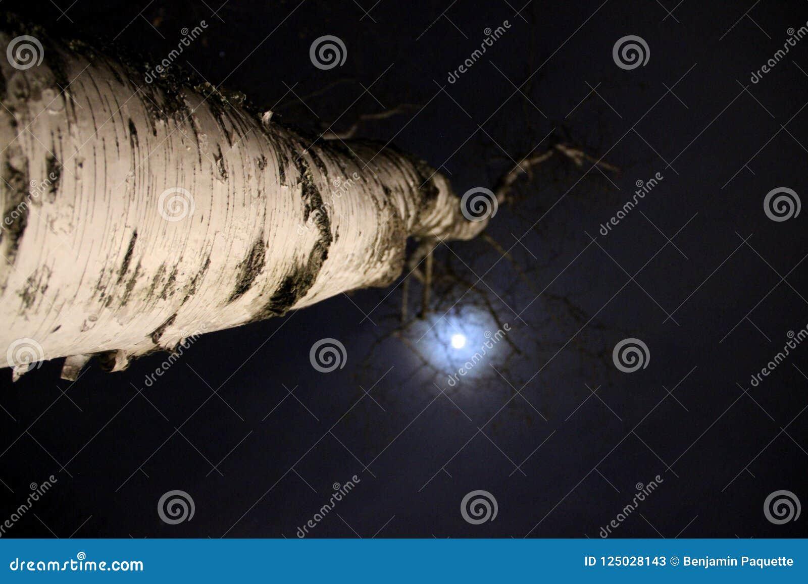Berkboom door de maan wordt aangestoken die
