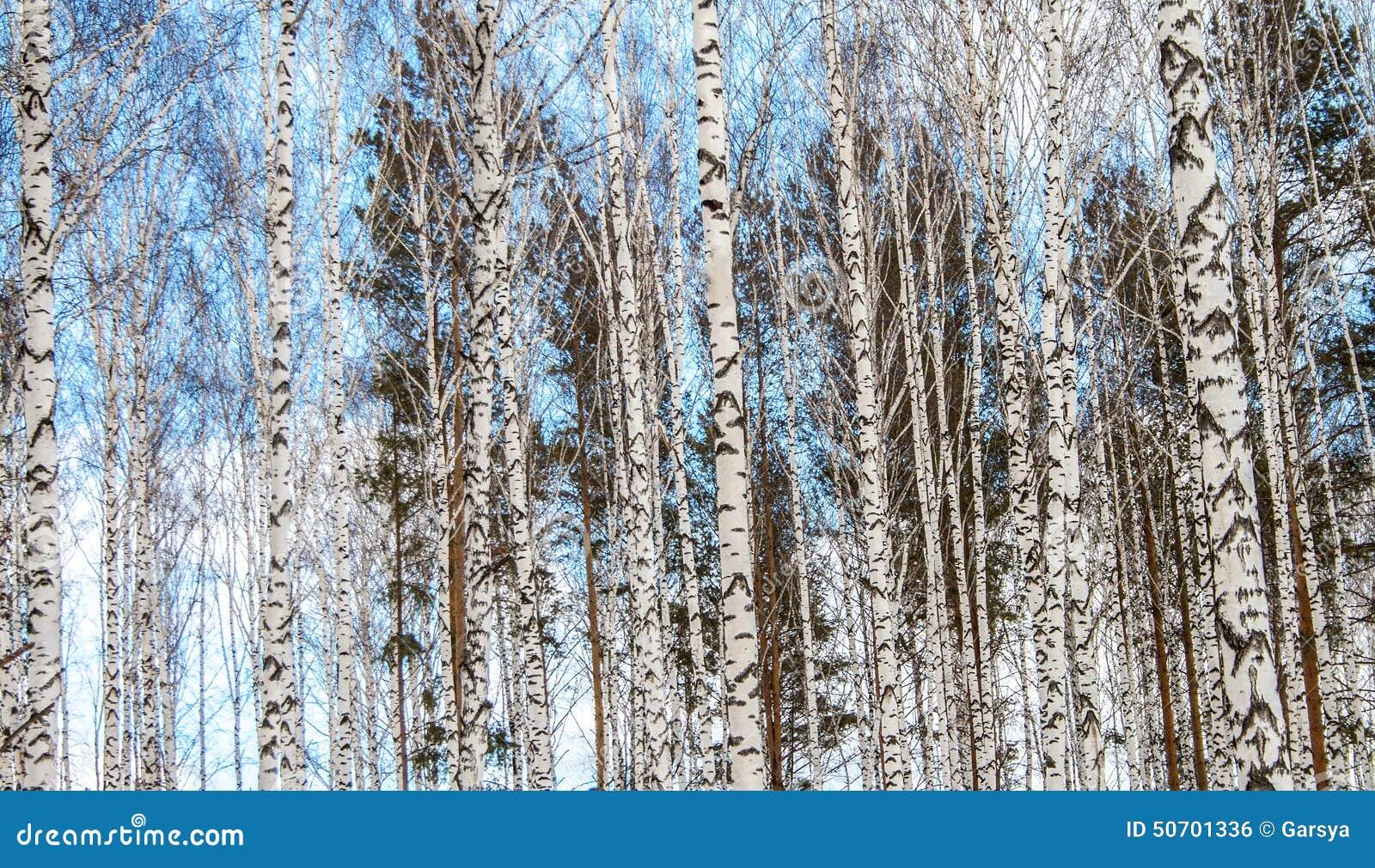Berkehout in de winter