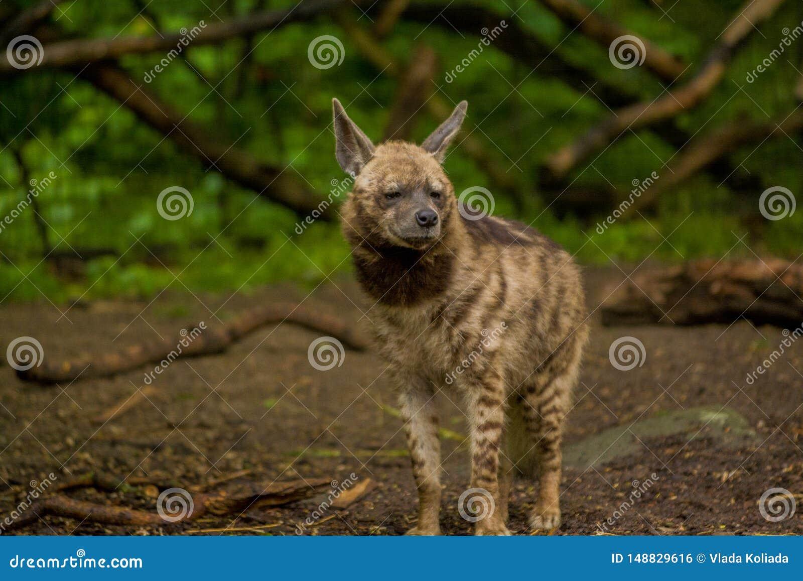 15 05 2019 Berlin, Deutschland Zoo Tiagarden Die arabische Hy?ne geht ?ber das Gebiet auf der Suche nach Nahrung