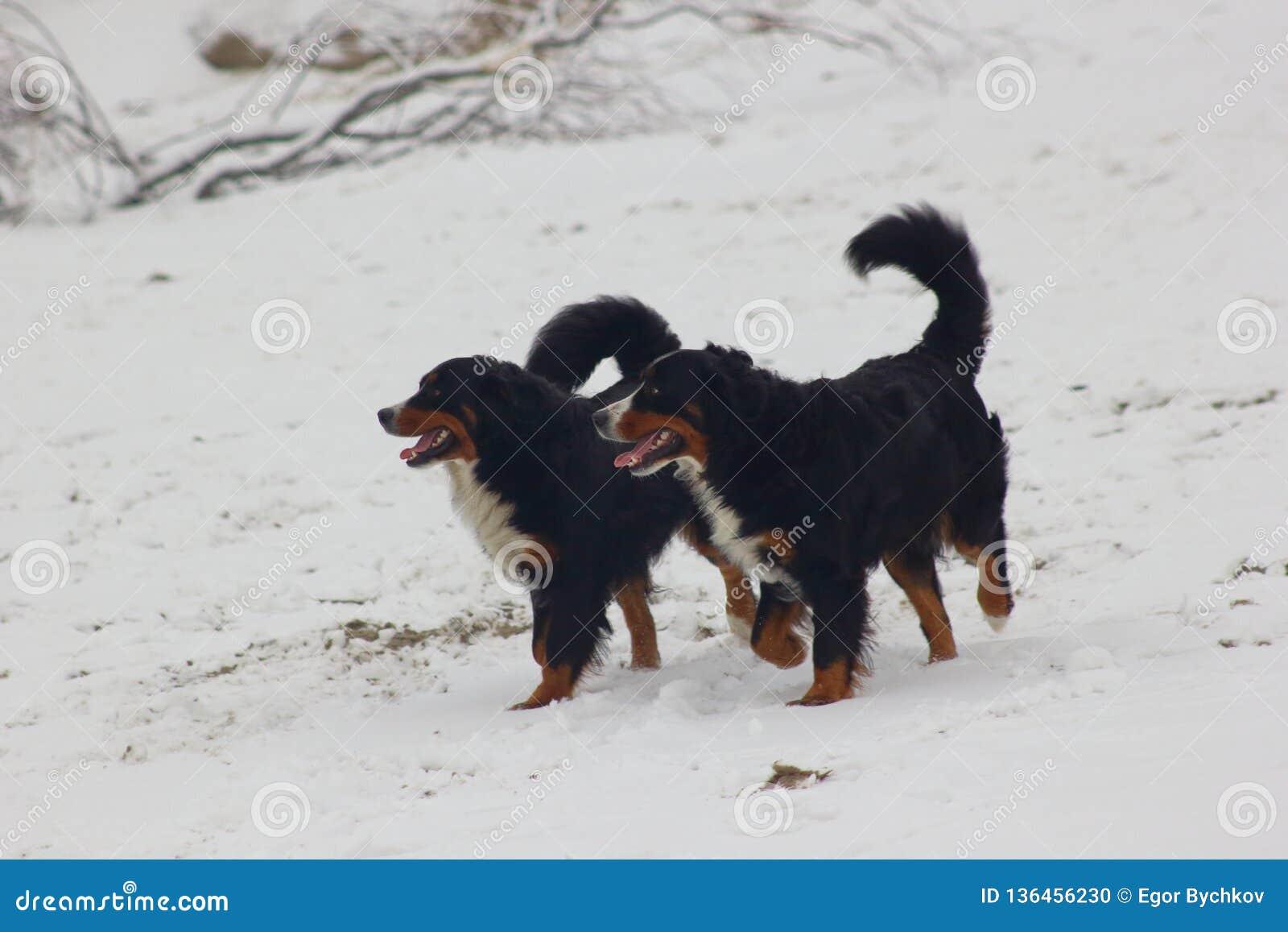 Berne Sennenhunde am Schnee