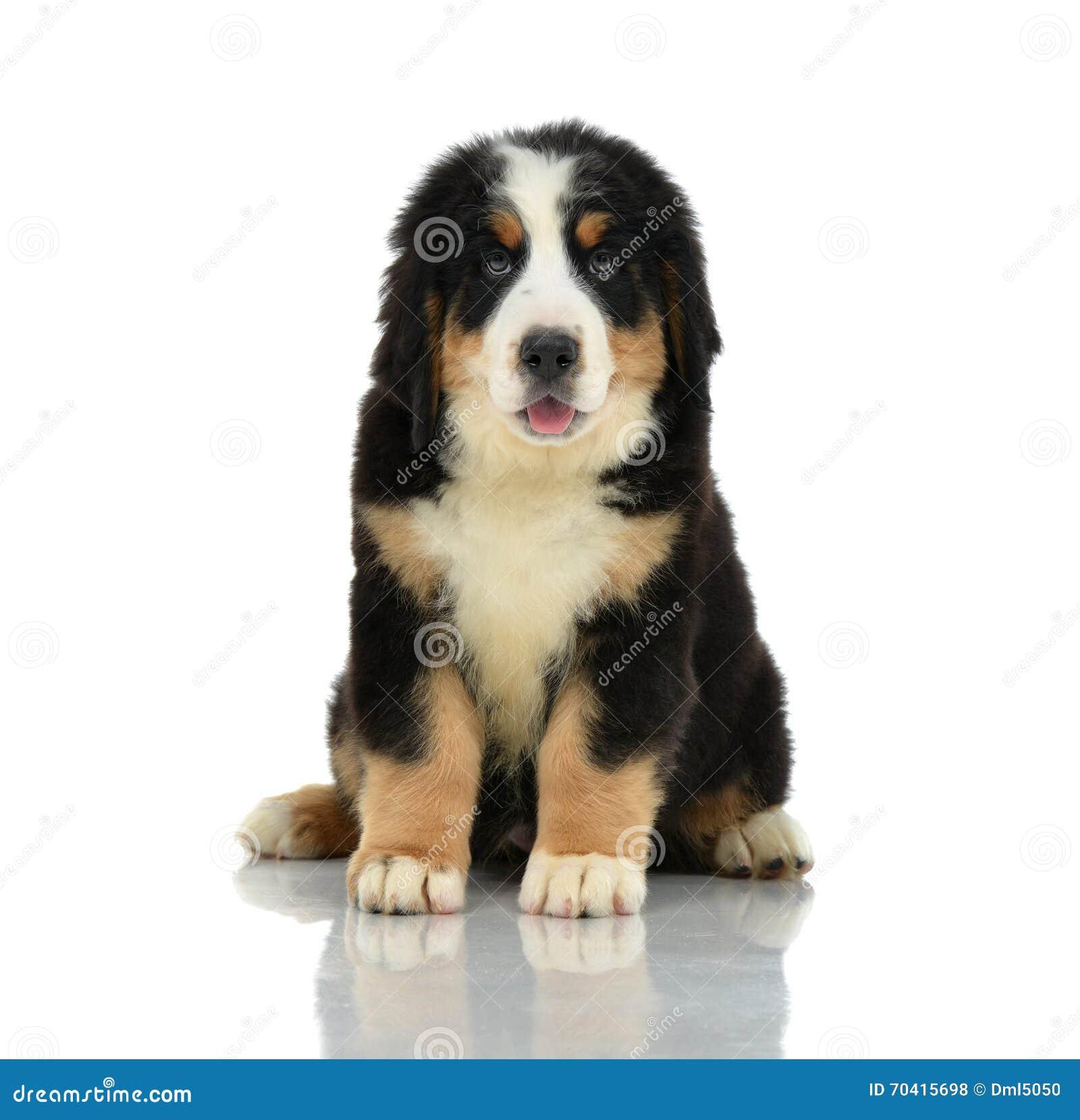 berner sennenhund o cucciolo della montagna di bernese che