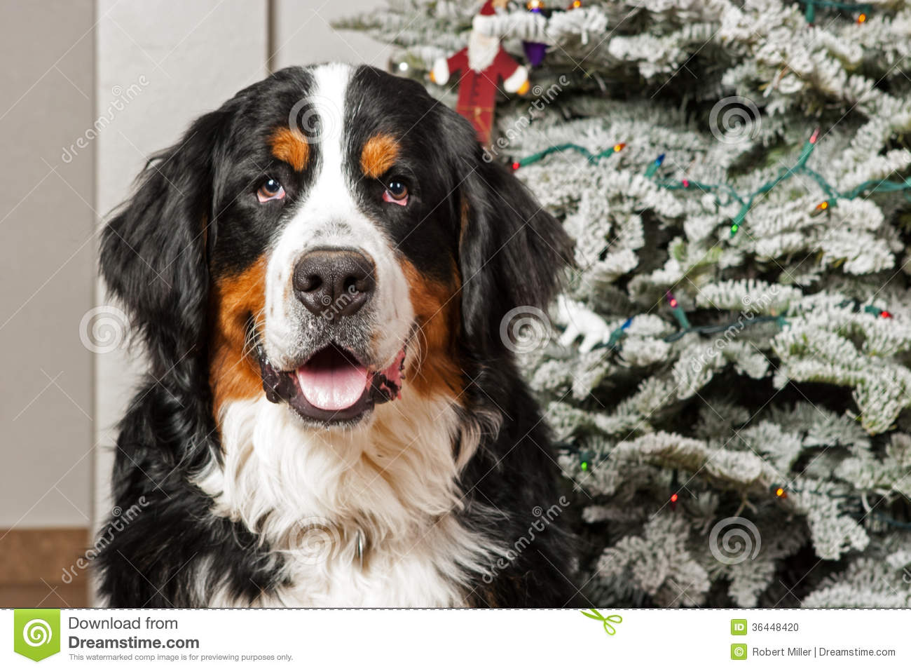 Bernese Mountain Dog Puppies Photos Pictures
