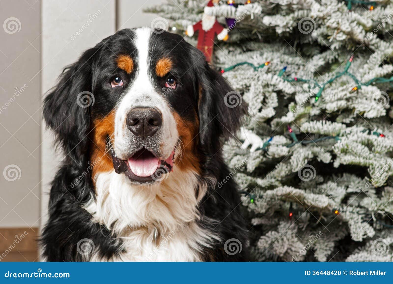 berner sennenhund am weihnachten stockfoto bild 36448420. Black Bedroom Furniture Sets. Home Design Ideas