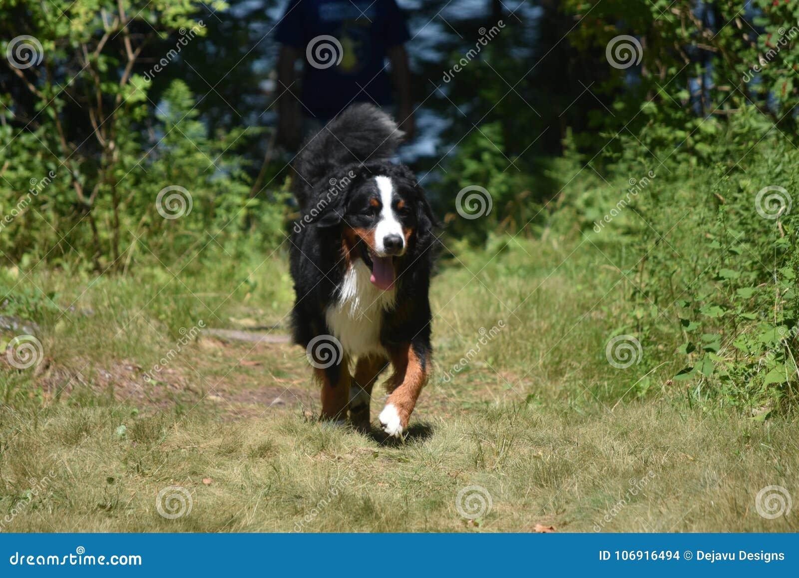 Bernese góry pies Kłusuje Along w obszarze zalesionym