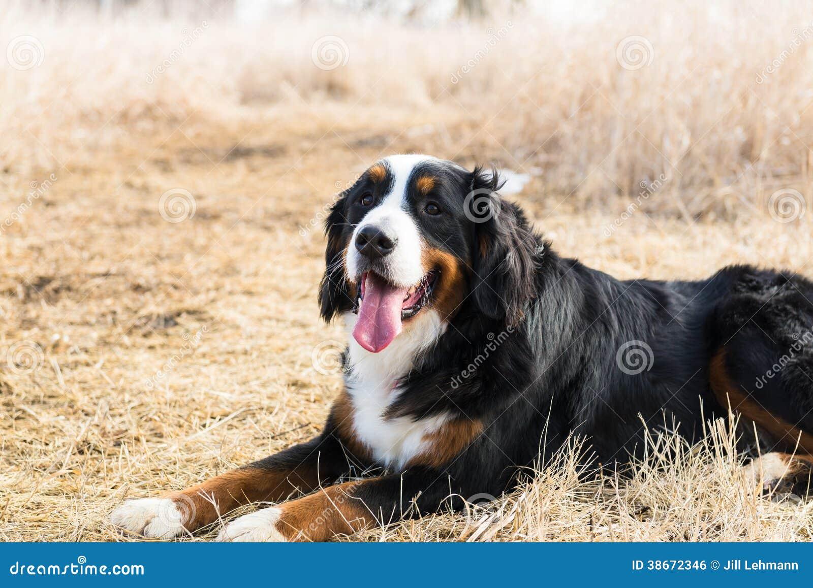 Bernese góry pies Siedzi Dosyć