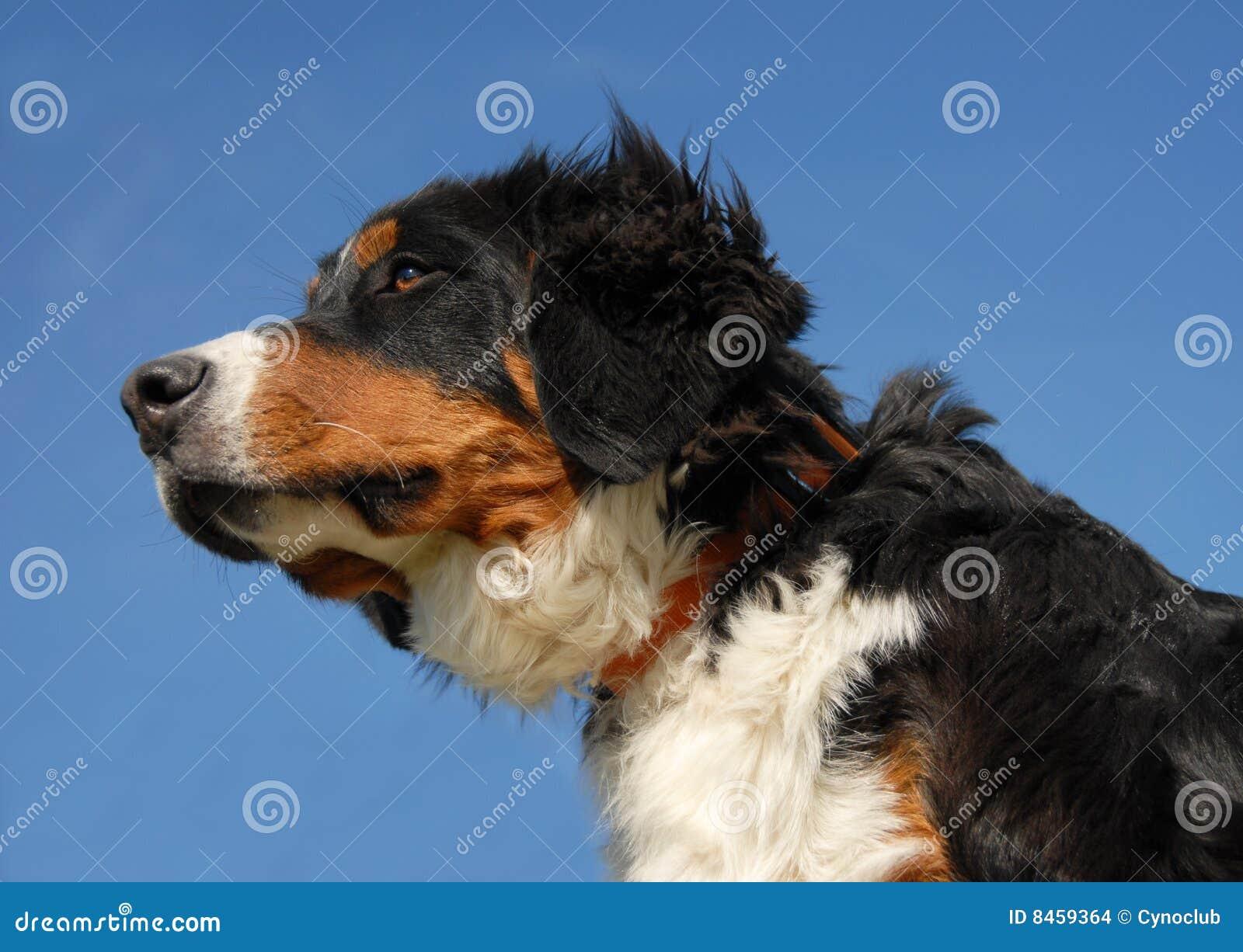 Bernese hundbarn
