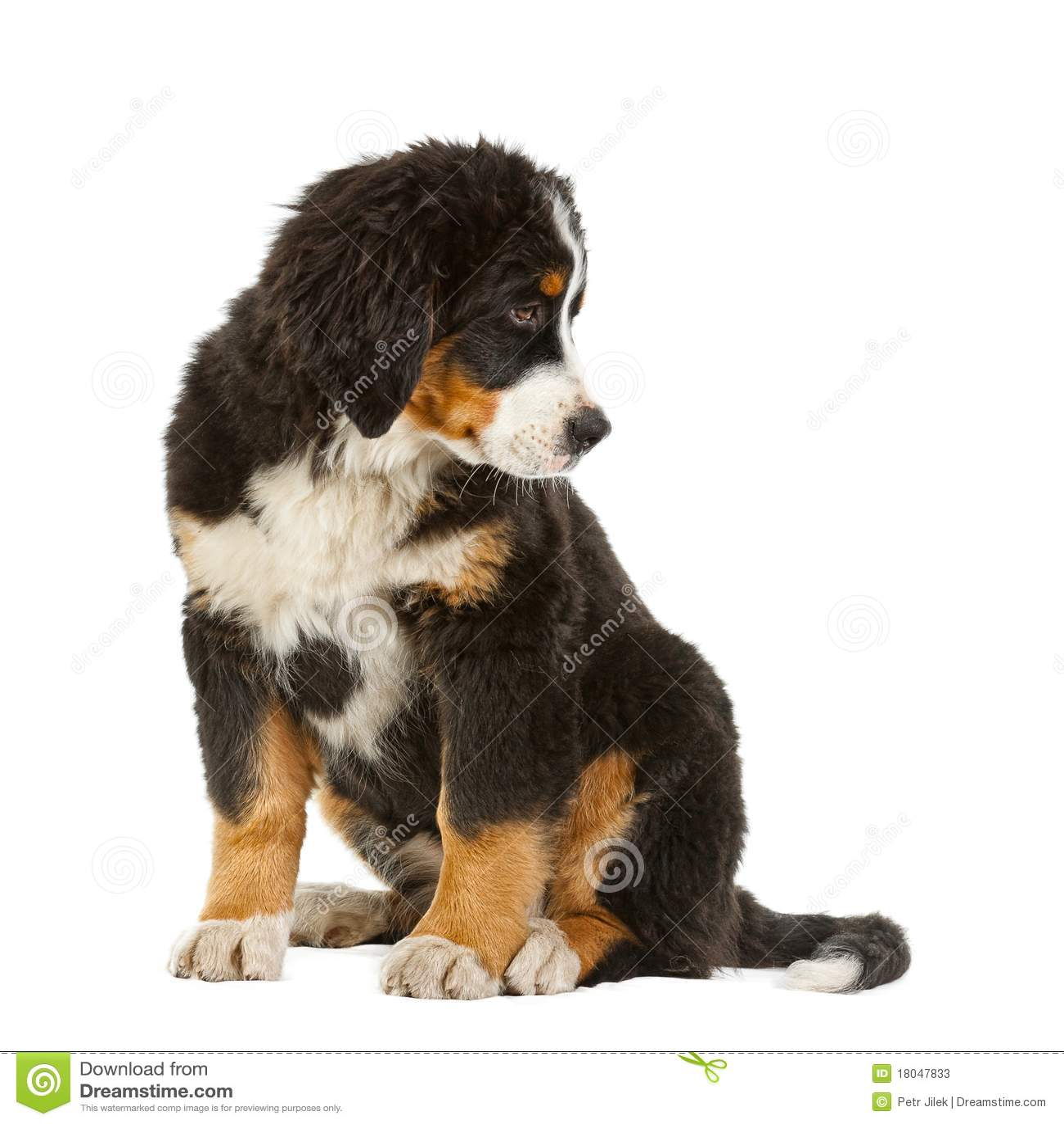 Bernese hundbergvalp