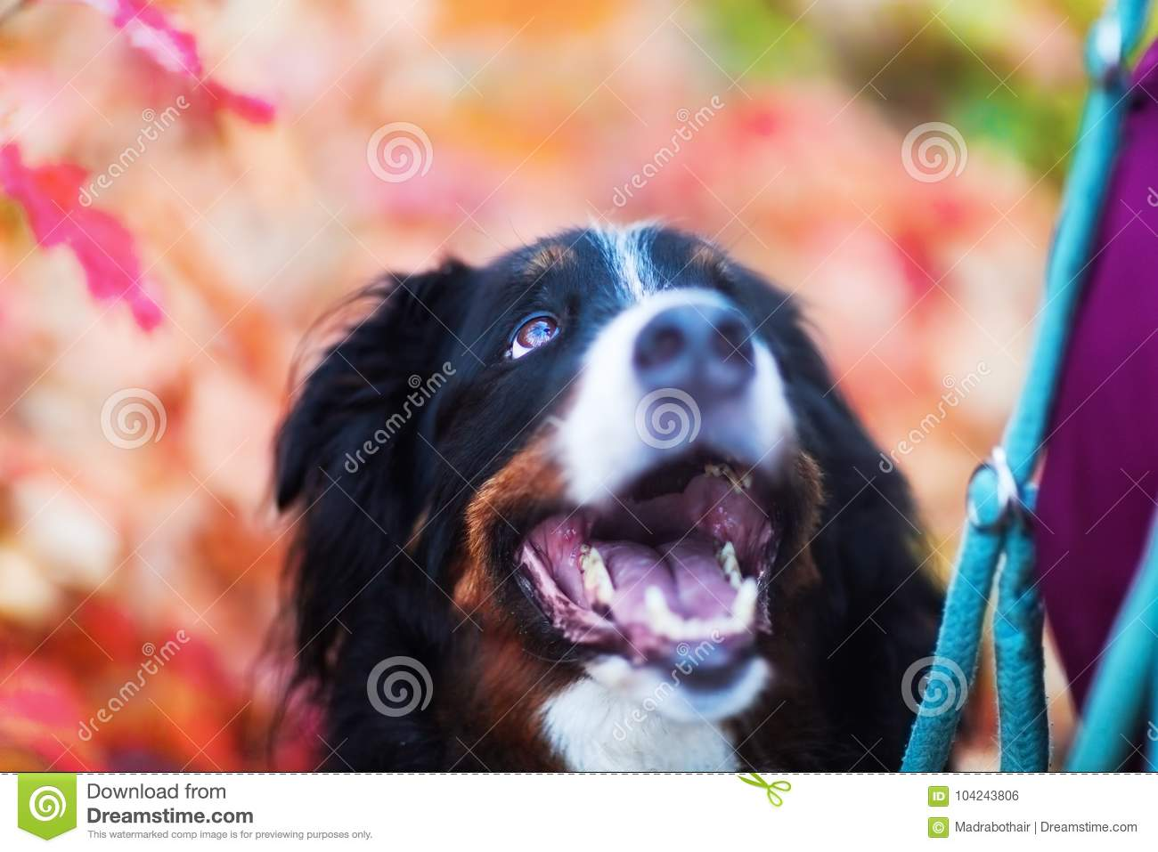 Bernese mountain dog with autumn colors in background