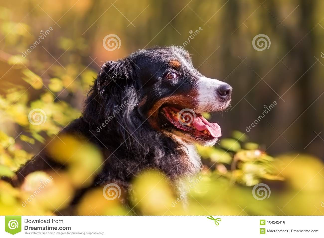 Bernese Mountain Dog In An Autumn Forest Stock Photo Image
