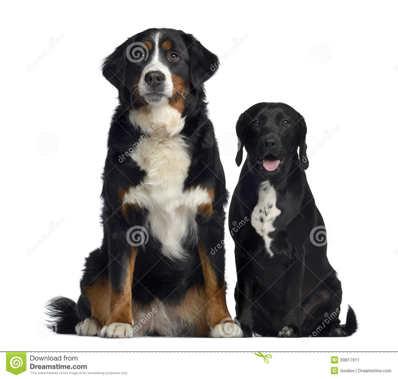 Bernese Mountain Dog And Crossbreed Between Labrador And