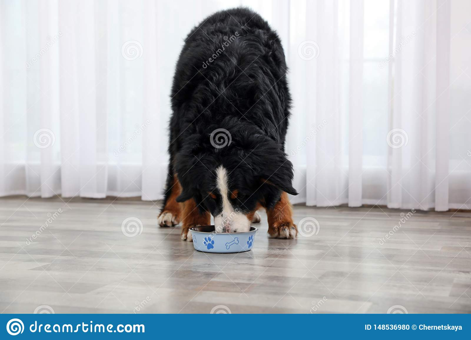 Bernese Mountain Dog Eating From Bowl Stock Photo Image Of