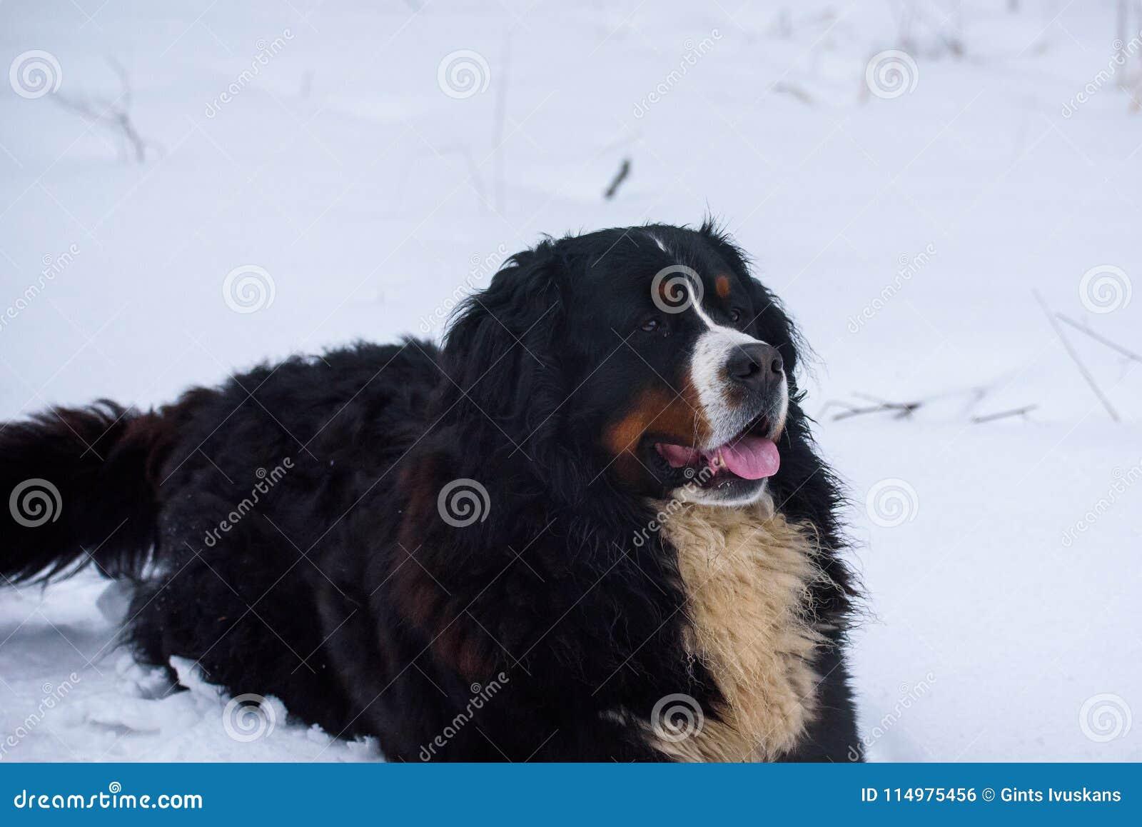 Bernese Mountain Dog Eating Snow Stock Photo Image Of Snow