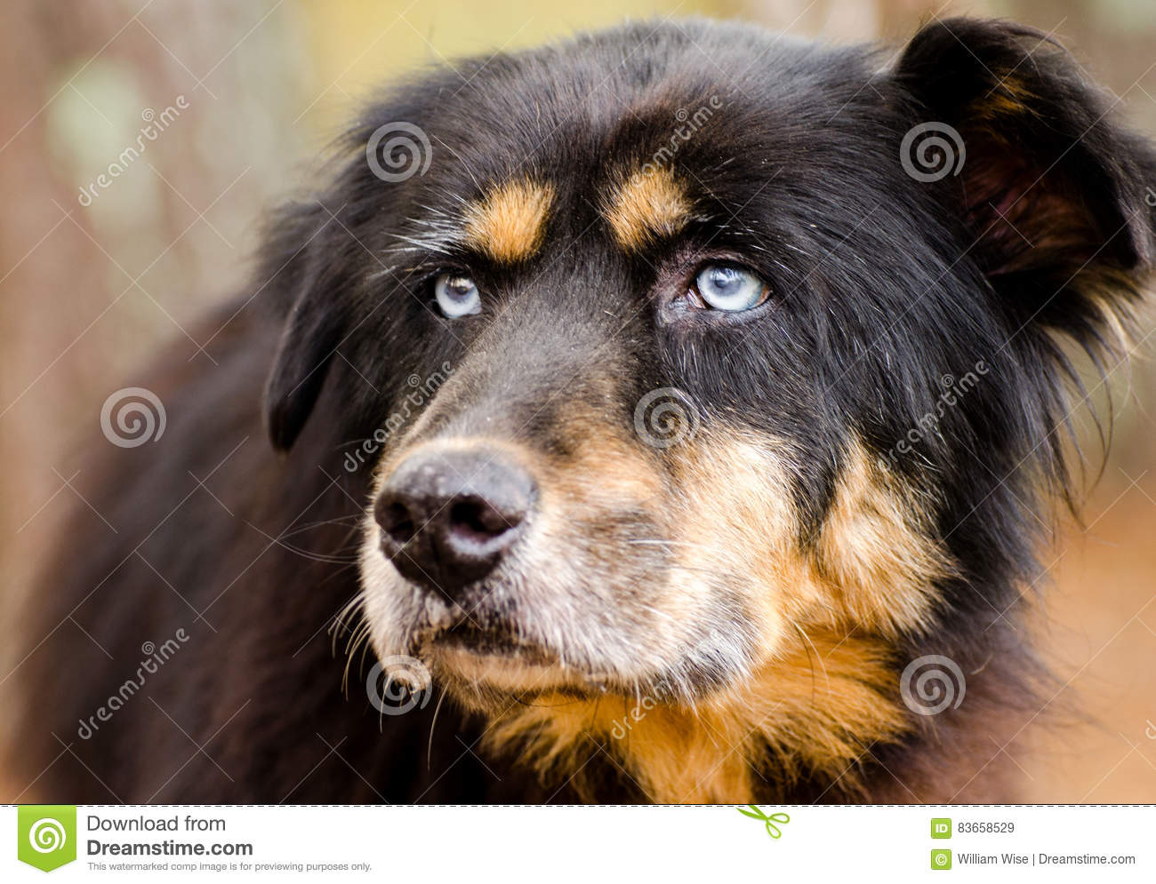 Bernese Mountain Dog Mixed Breed With Blue Eyes Stock Image