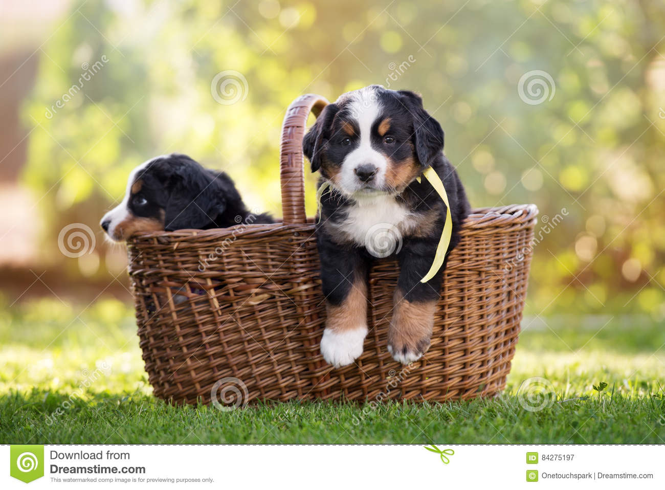 Bernese Mountain Dog Puppy In A Basket Stock Image Image Of