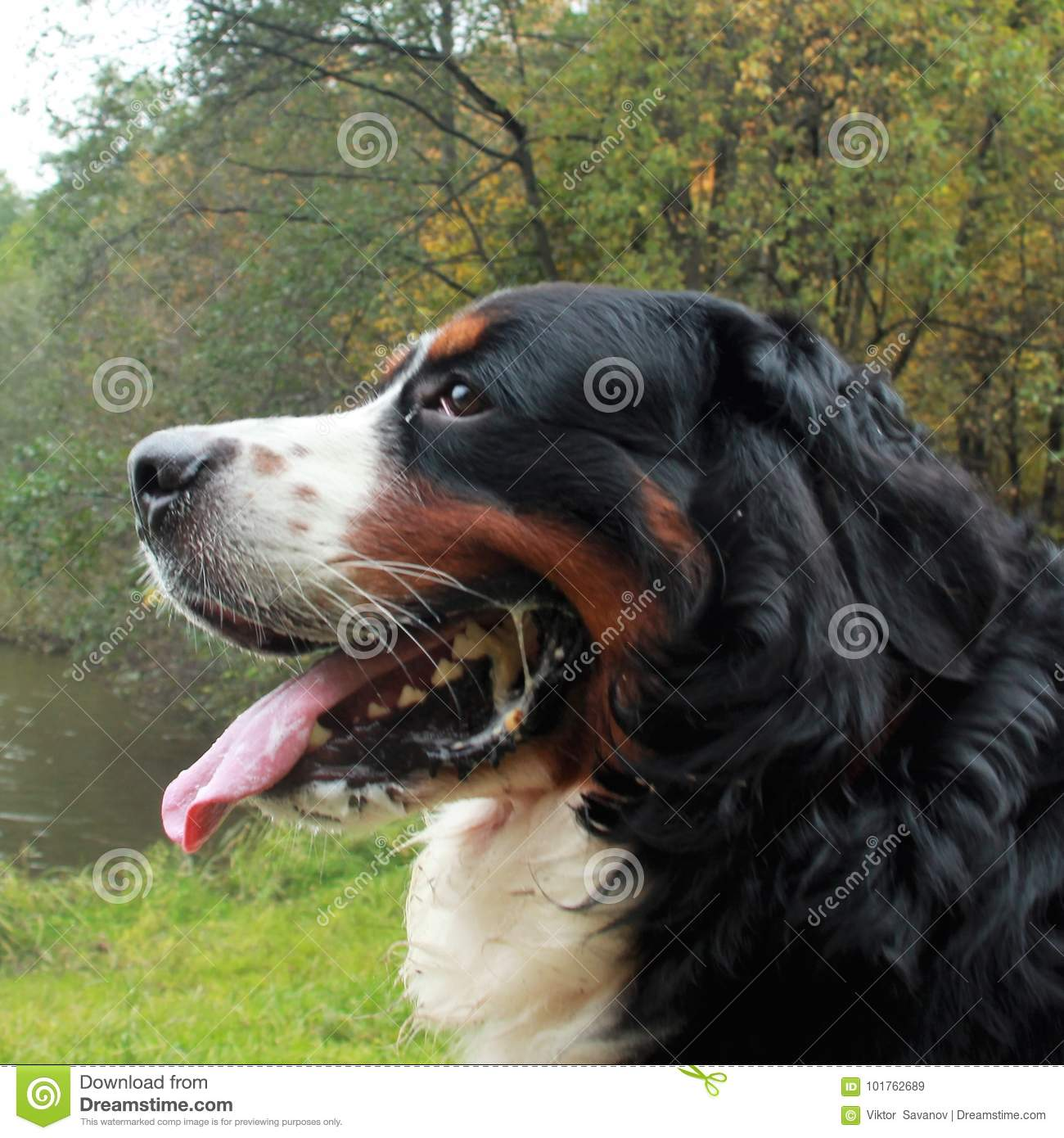 Bernese Mountain Dog On A Walk In The Park Stock Image