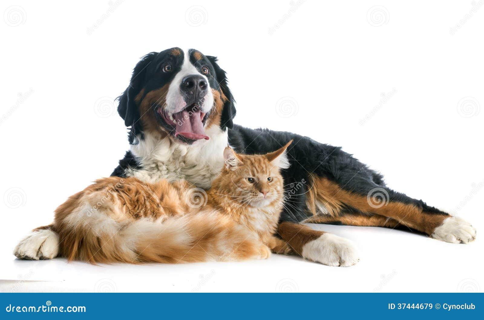 Free Bernese Mountain Dog