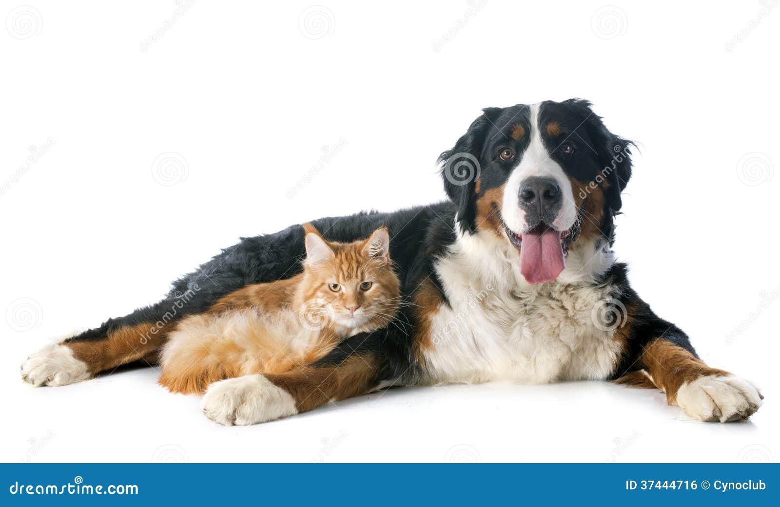 Bernese moutainhund och katt