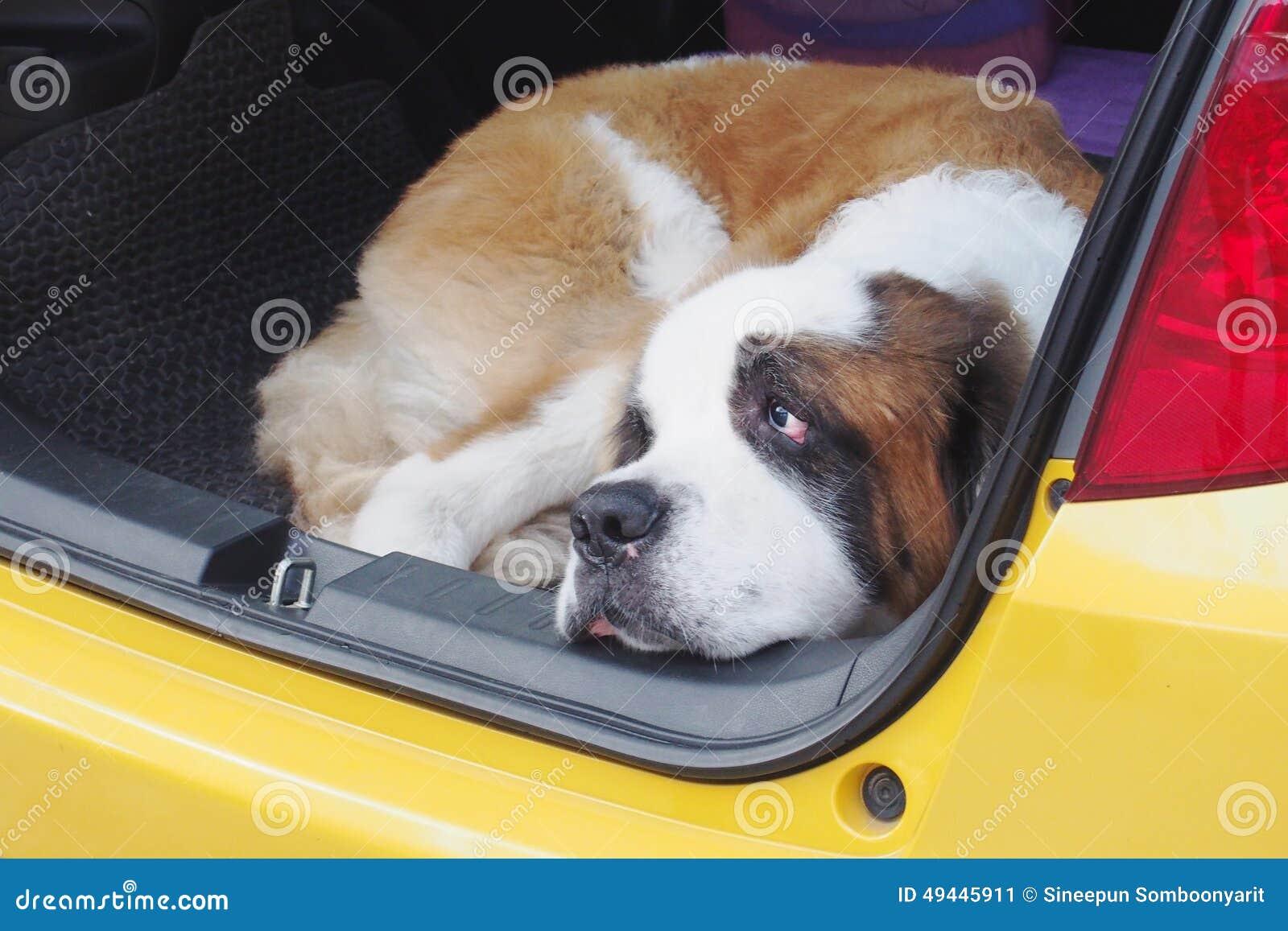bernhardiner hund der im auto hockt stockbild bild 49445911. Black Bedroom Furniture Sets. Home Design Ideas