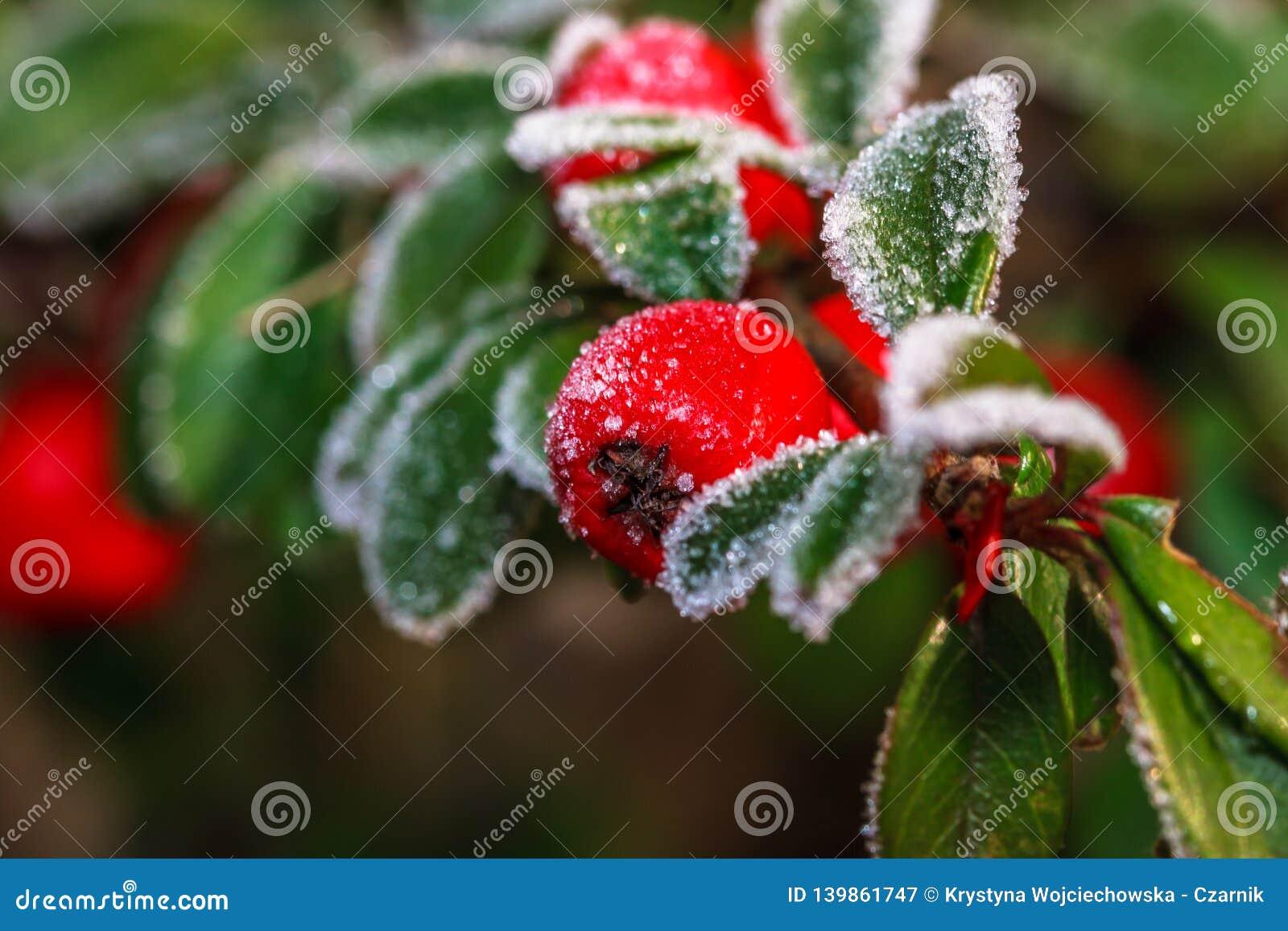 Berrie congelato dell agrifoglio