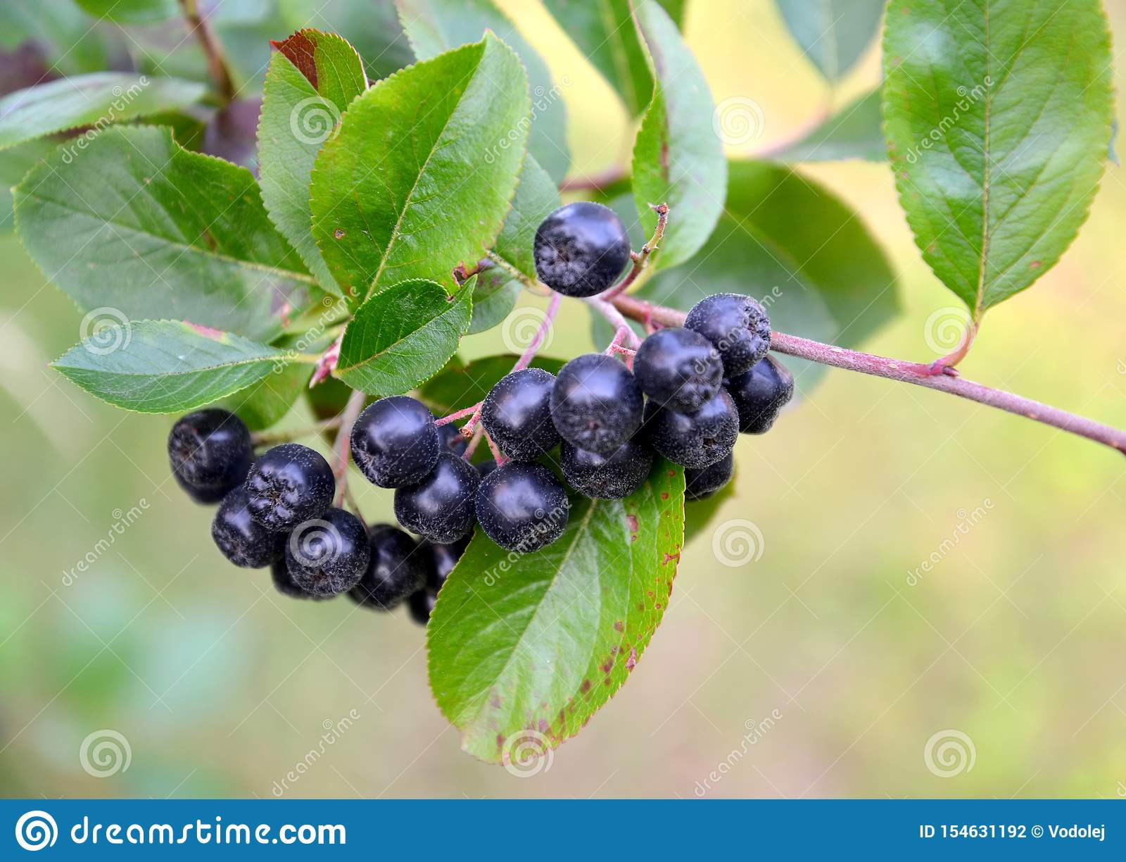 Berries of an aroniya mountain ash black-fruited Aronia melanocarpa Michx. Elliott close up